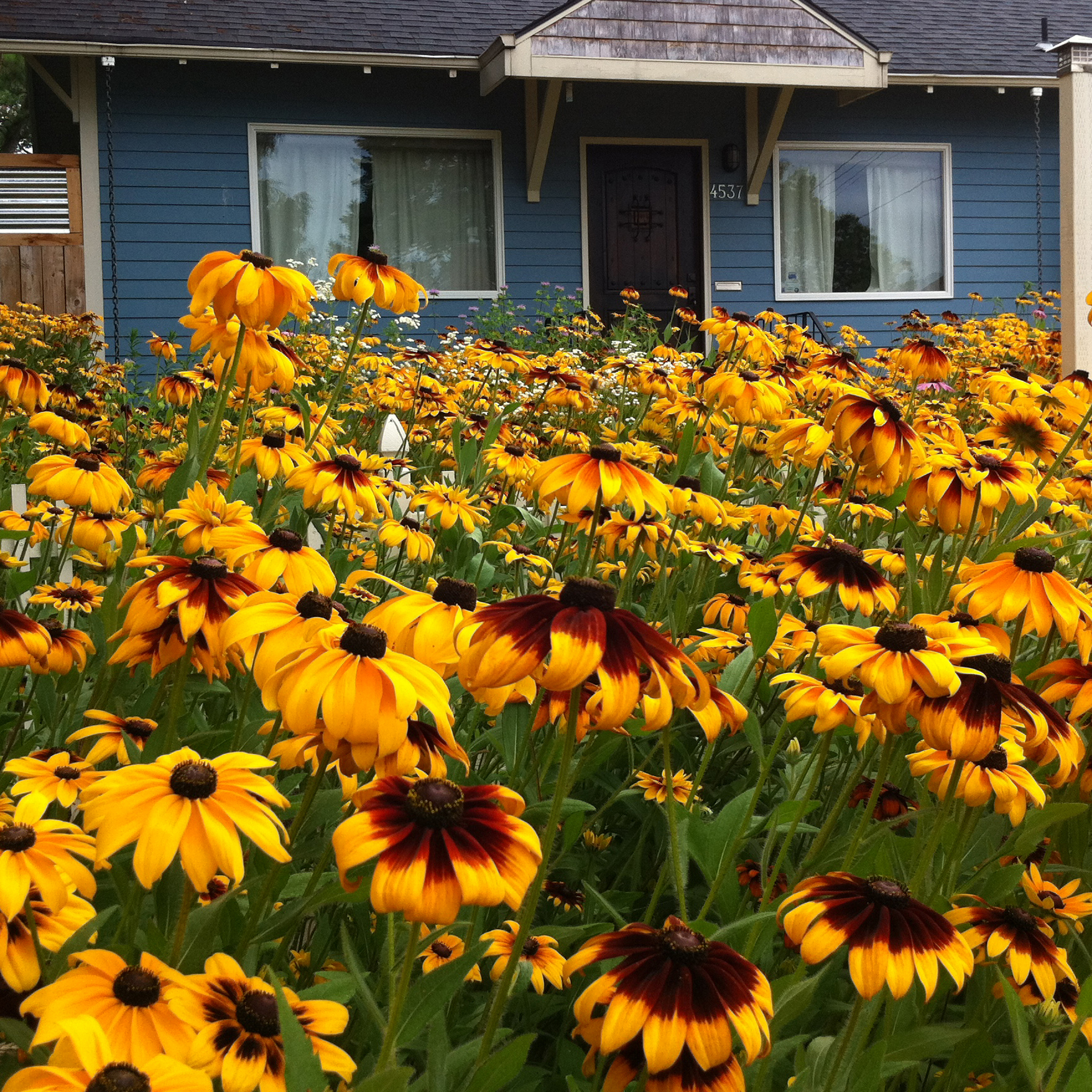 A yard bursting with bright yellow black-eyed Susans nearly obscures the blue house behind it.