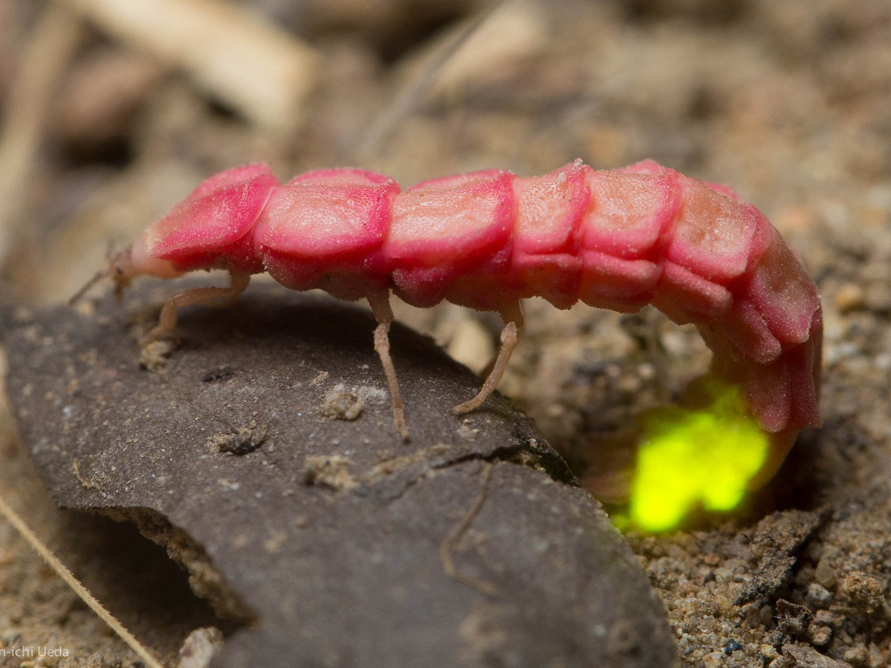 A pink, long, segmented insect (which looks somewhat like a gummy worm with legs) has a tail that is slightly curled under the rest of its body. The tip of the tail is glowing yellow-green.