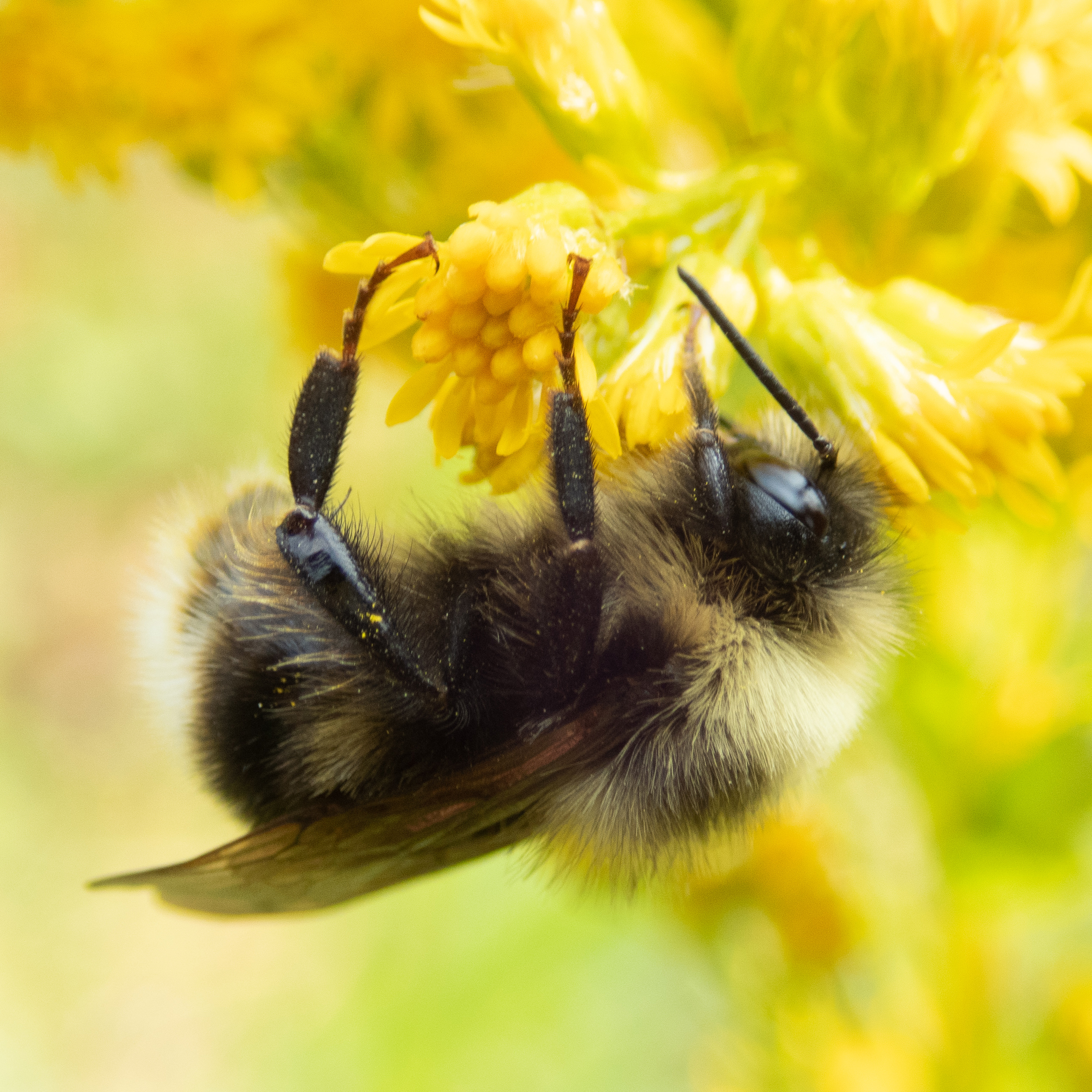 A fuzzy bumble with long hair bee clings upside down to a yellow flower.