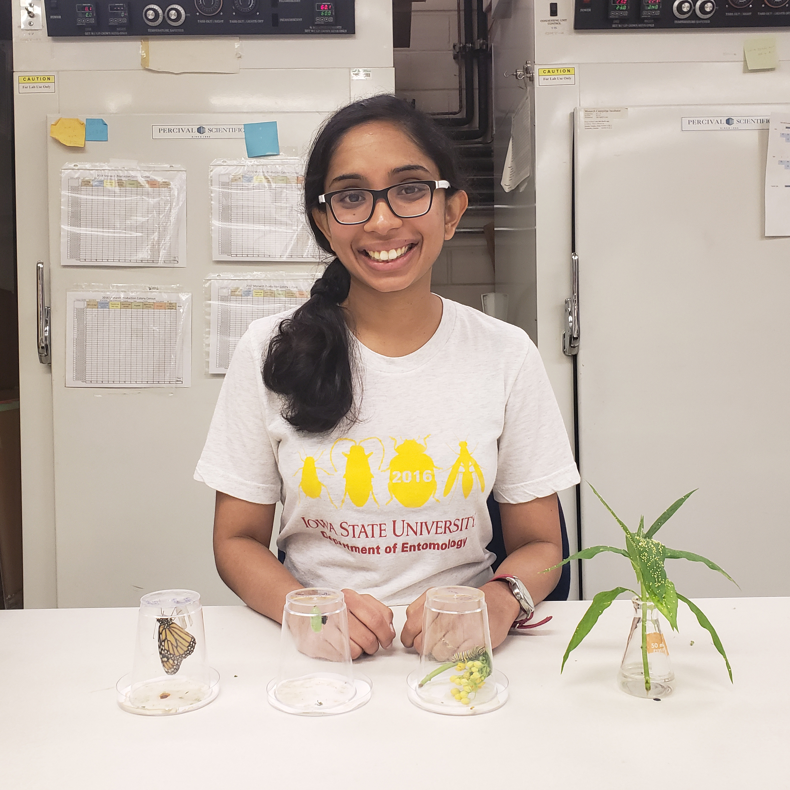 A smiling young woman with an Iowa State University T-shirt sits in a lab, with a sprig of milkweed with monarch eggs in one container on the counter, a monarch chrysalis in another container, a monarch caterpillar in the next, and an adult monarch butterfly in the final container.