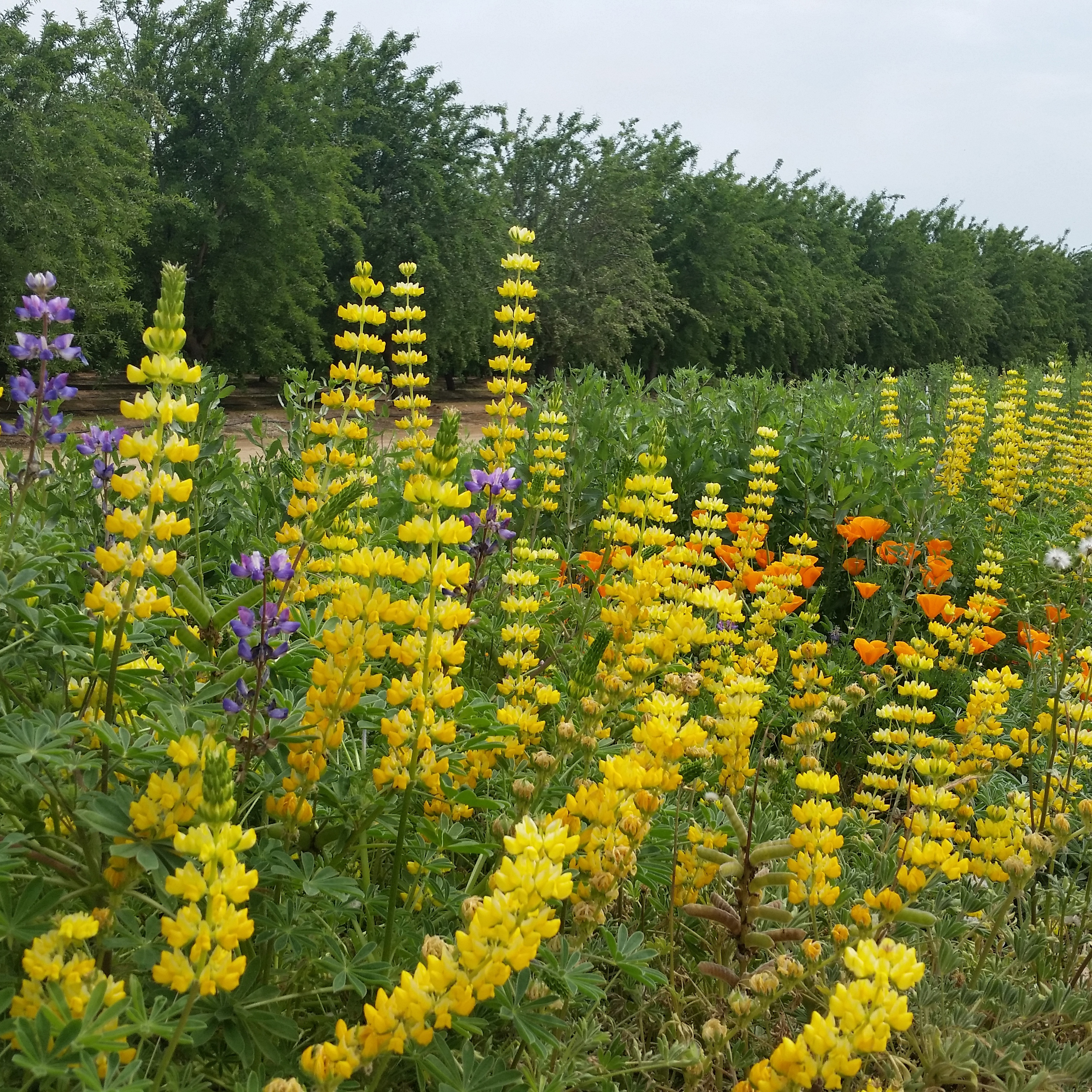 Brightly-colored blooms in a hedgerow dominate the foreground; behind is a row of almond trees.