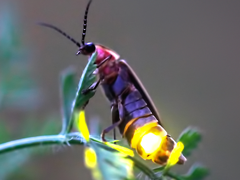 A purple firefly, with a pink head, dark antennae, and a brightly-lit, yellow light on its rear, is perched on a green, leafy stem.