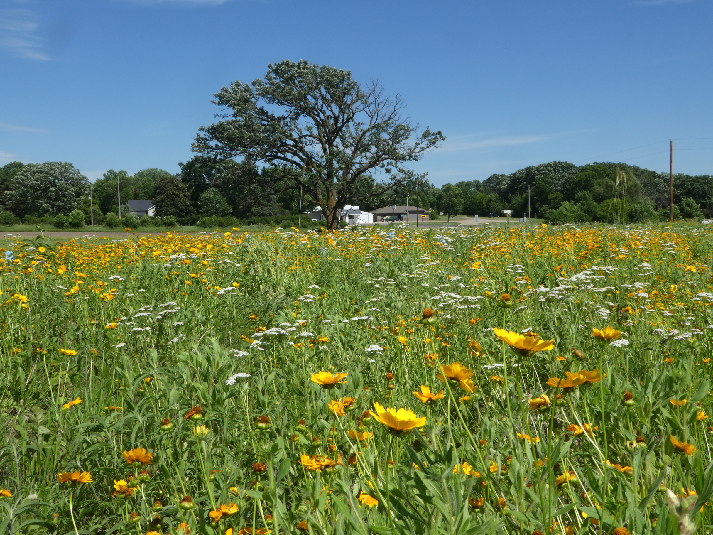 A field of yellow and white wildflowers bloom in the sunshine. A spreading tree and farm building are in the background.