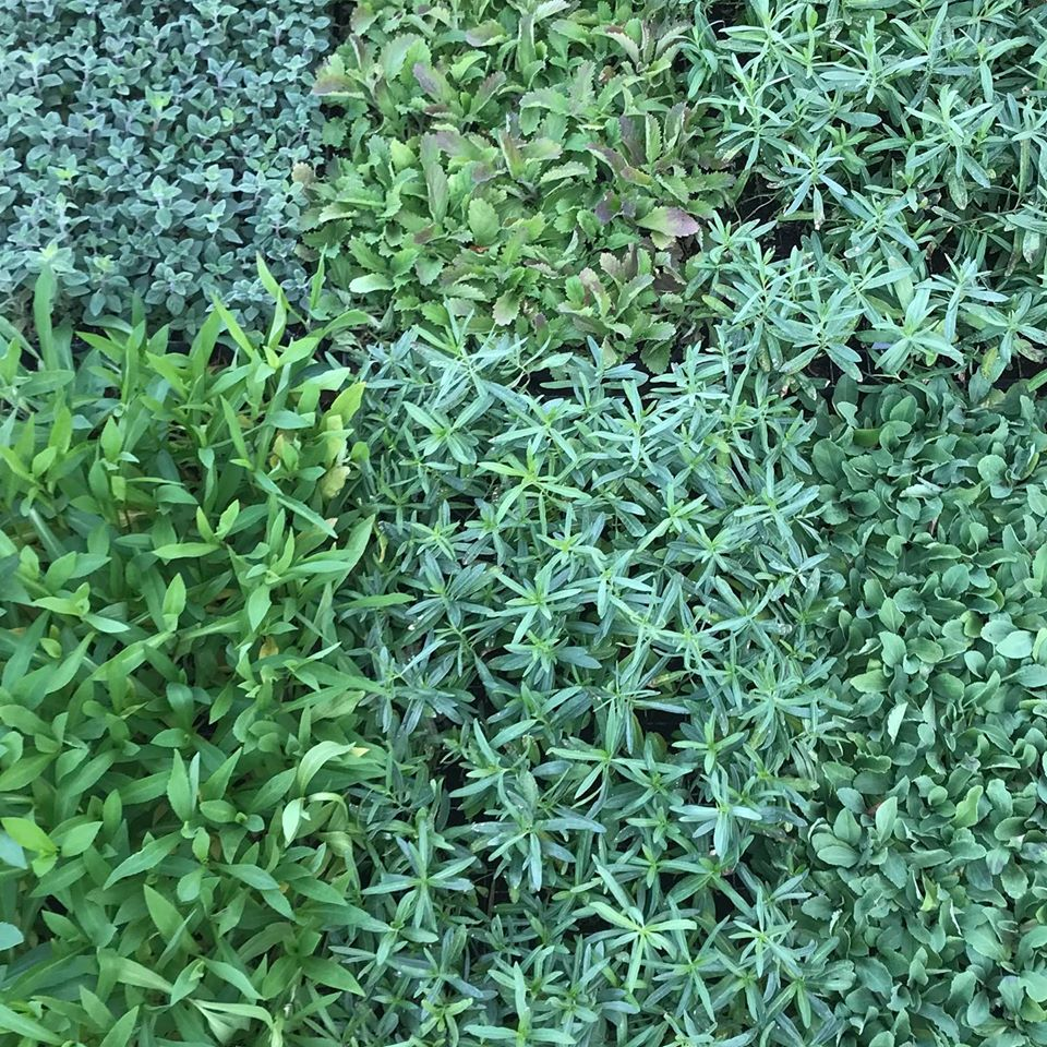 Looking down on closely spaced plant trays shows the different greens and leaf shapes
