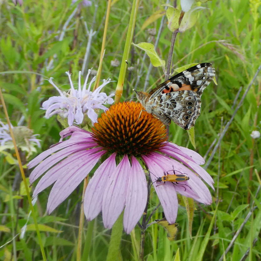 A butterfly with intricate grey and black markings on the underside of it's wings drink nectar from a purple coneflower