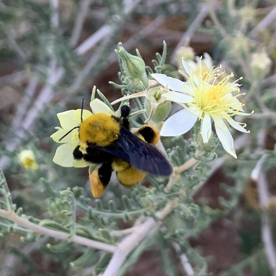 A golden-yellow and black bumble bee forages on a pale yellow flower