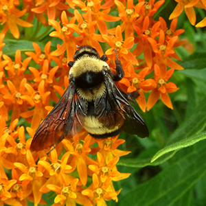 A fuzzy bumble bee with clearly defined yellow and black stripes and dark wings clings to the bright orange blossoms of butterfly milkweed.
