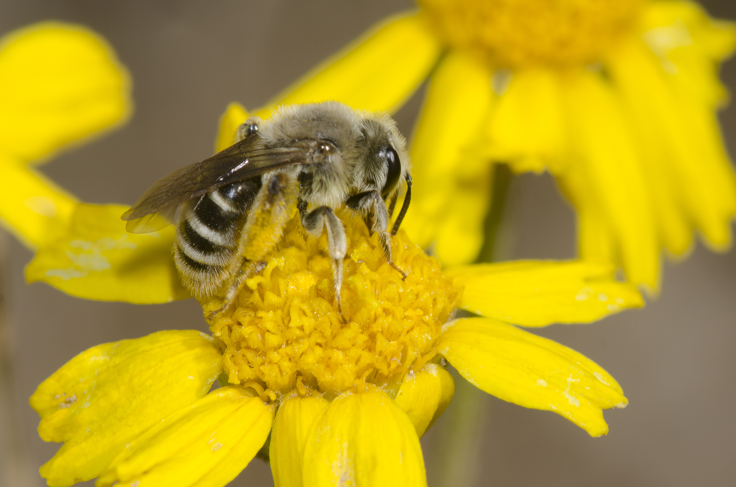 Mining bee drinks nectar from yellow flower