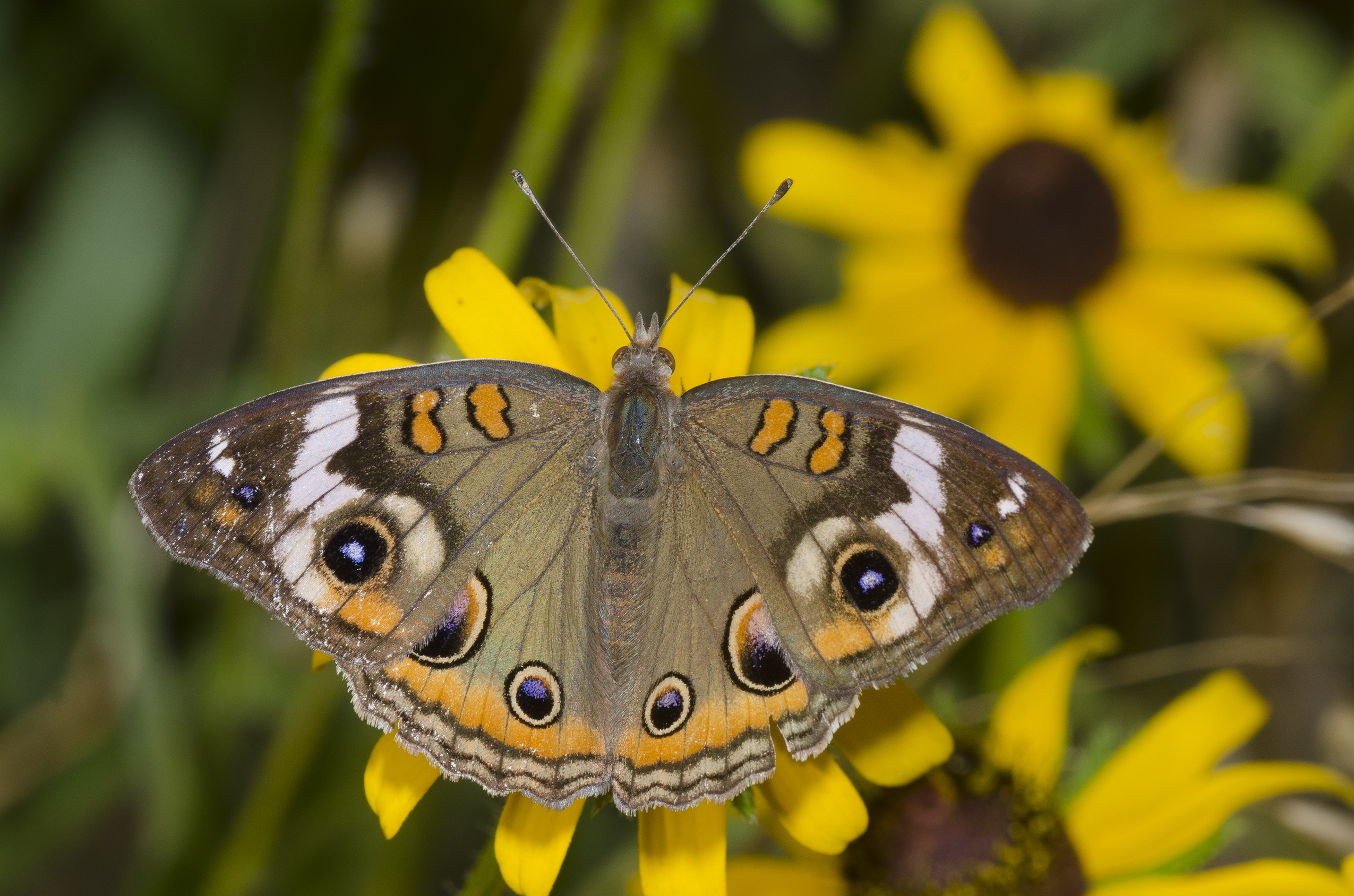 Buckeye butterfly on black eye susan flower