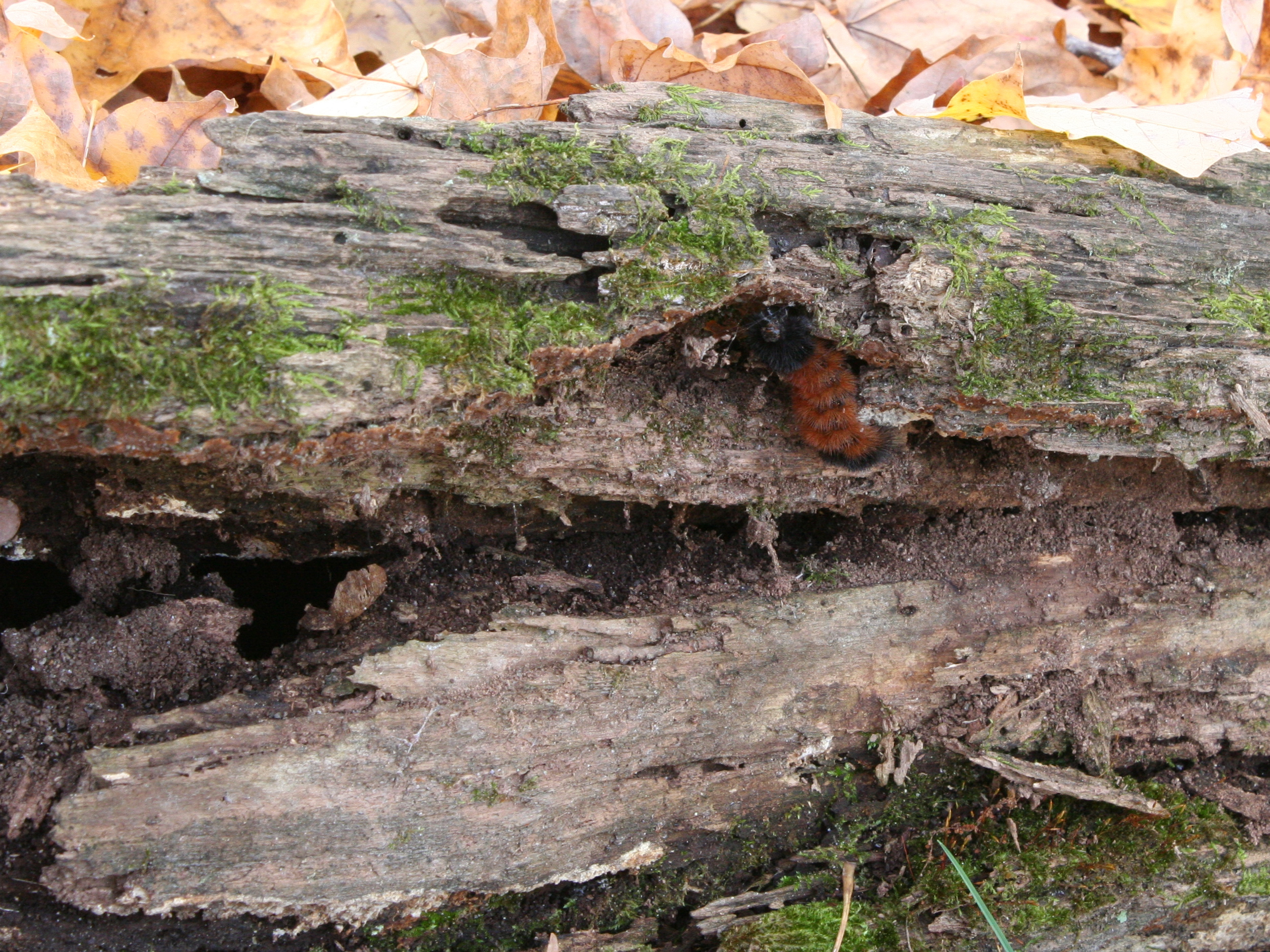 A fuzzy, orangish-brown and black striped caterpillar crawls along a decaying log with moss on it.