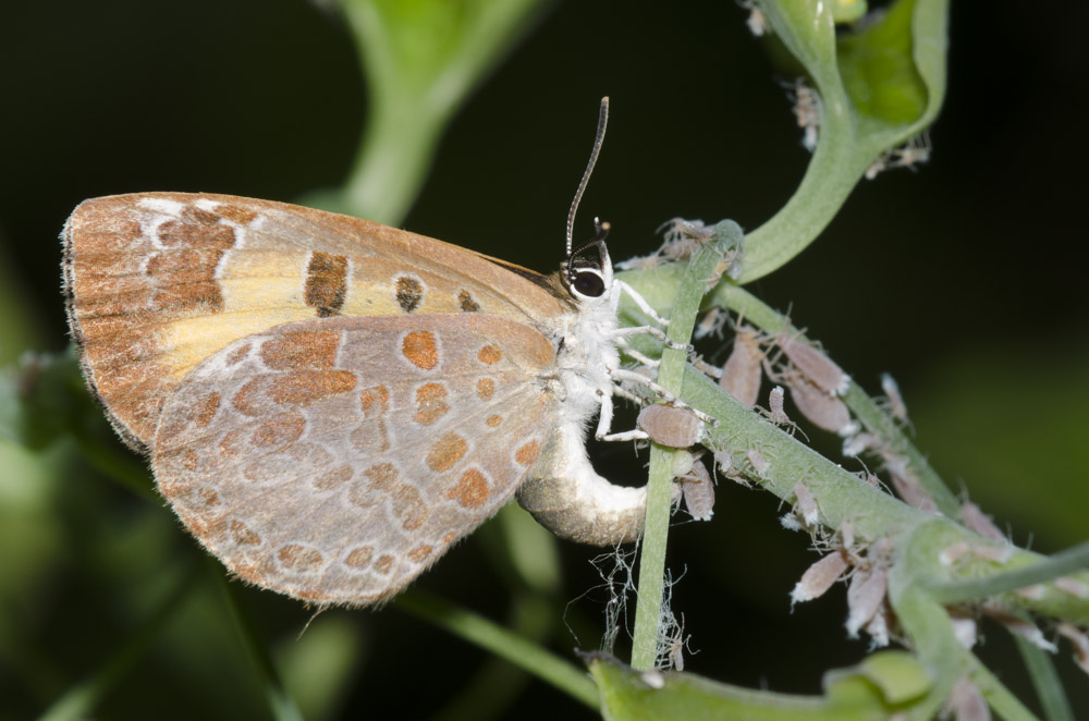 A female harvester butterfly ovipositing by an aphid colony. Her body is arced so that the back end of her body is touching the pale green vine she is perched on. There are many gray aphids on the vine near her.