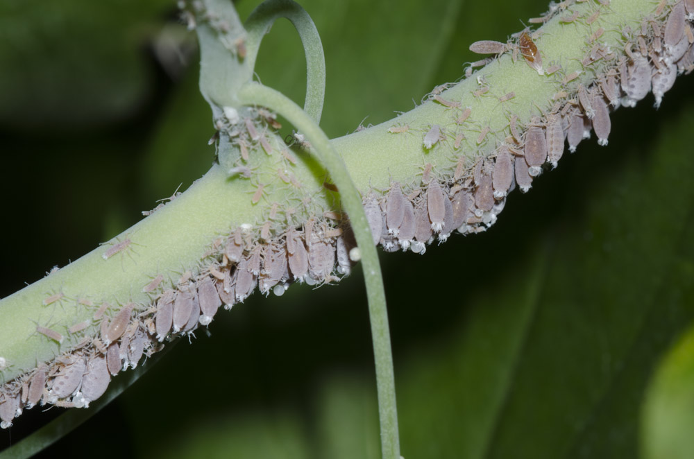 On the underside of a pale, green stem, there are many gray insects.