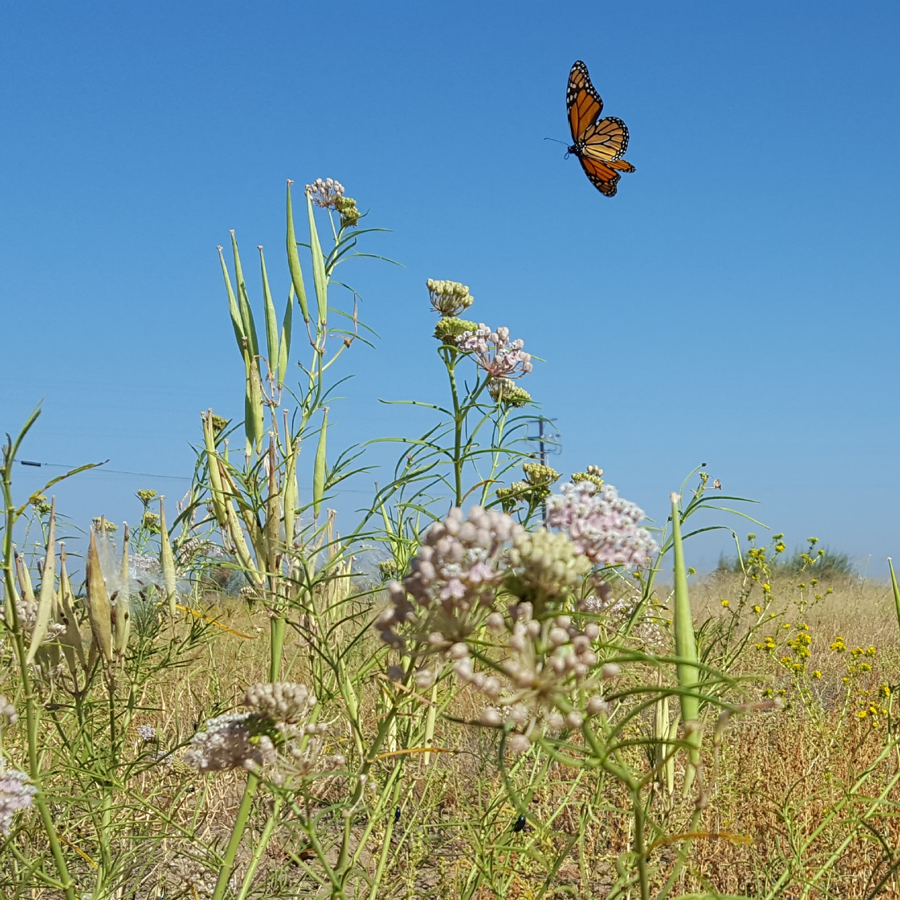 A bright orange and black monarch butterfly soars against a deep blue sky, above a dry grassland with some green milkweed plants.