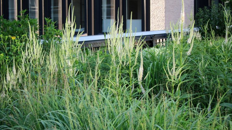 Culver's Root stands tall amongst ornamental grasses on New York City's High Line.