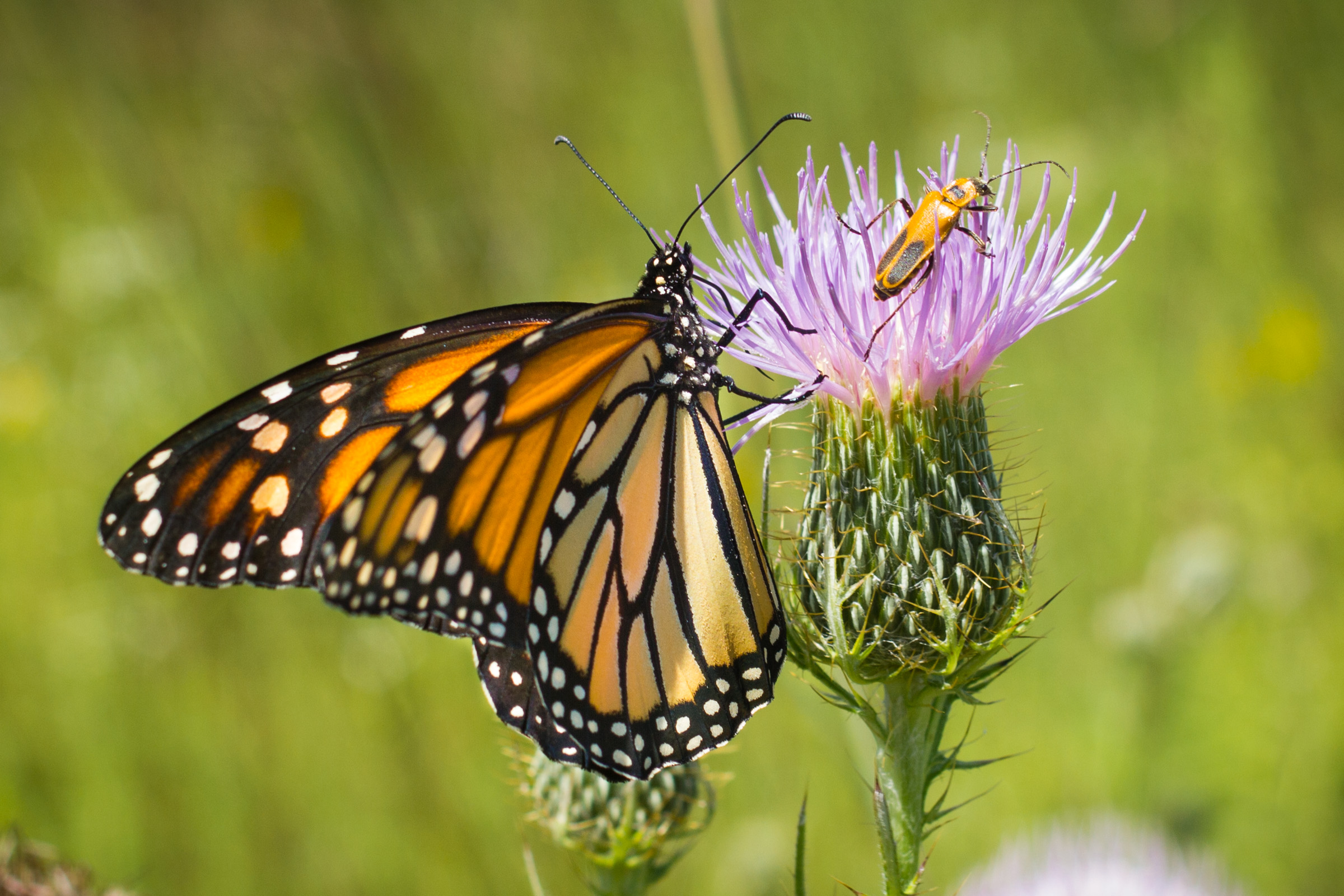 A bright orange and black monarch and a goldenrod-colored goldenrod soldier beetle share a purple thistle.