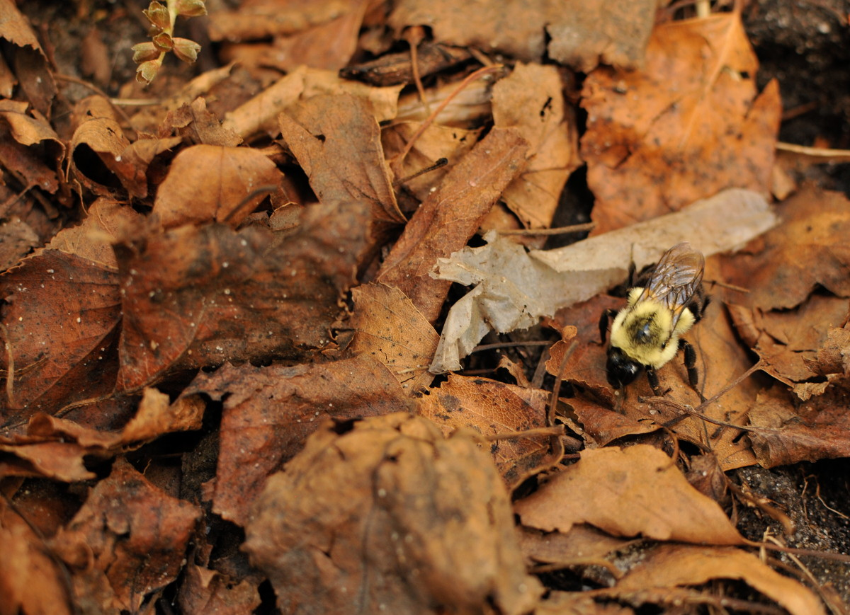 A fat, fuzzy bumble bee with very pronounced yellow and black stripes walks over a large swath of downed leaves.