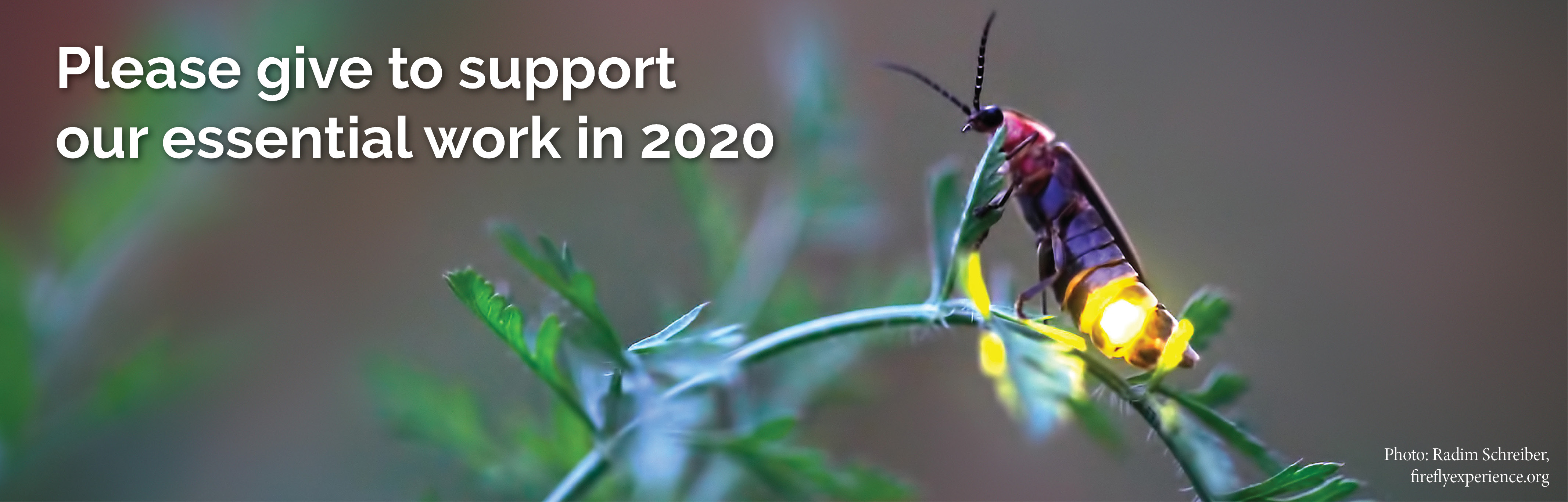 "A firefly with a dark purple, shiny body flashes yellow as it perches atop a green, floppy stem. The text reads: ""Please give to support our essential work in 2020."""