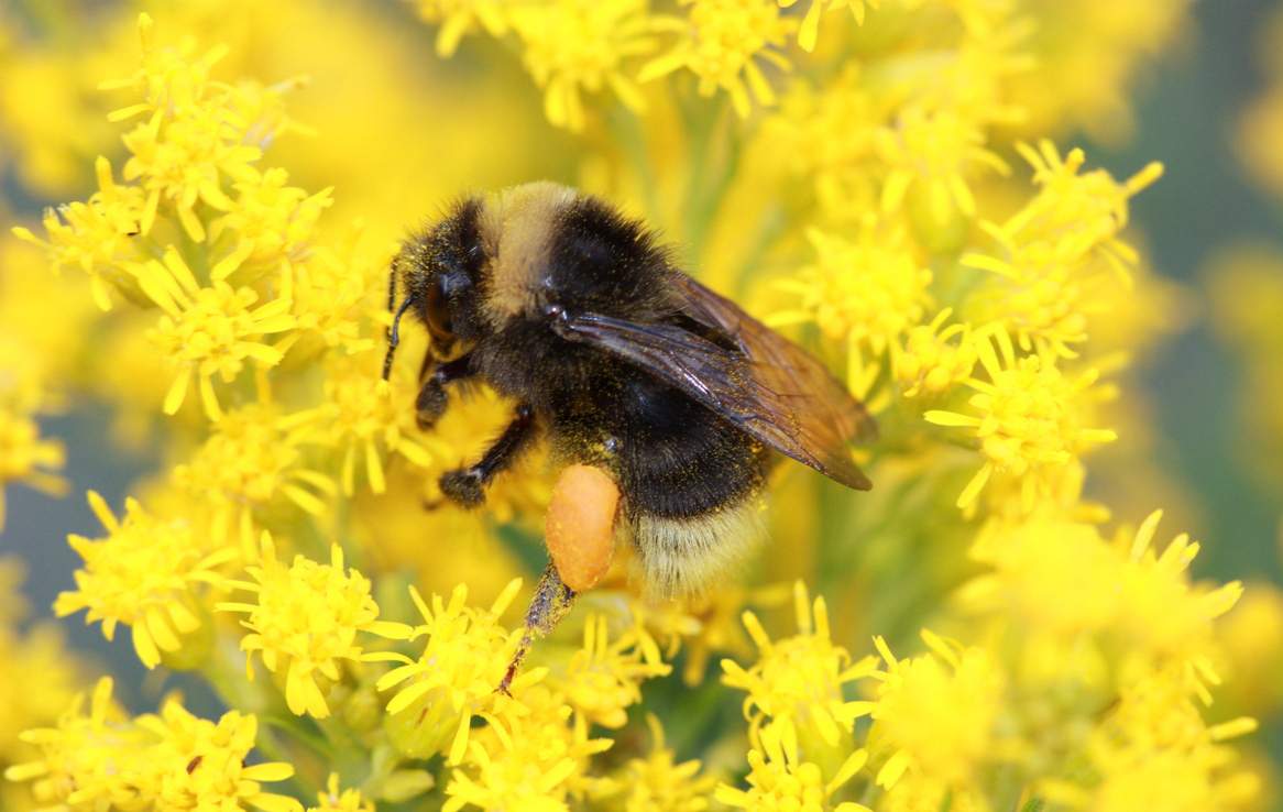 A dark-colored bumble bee adds to its prodigious pollen baskets atop many small, yellow flowers.