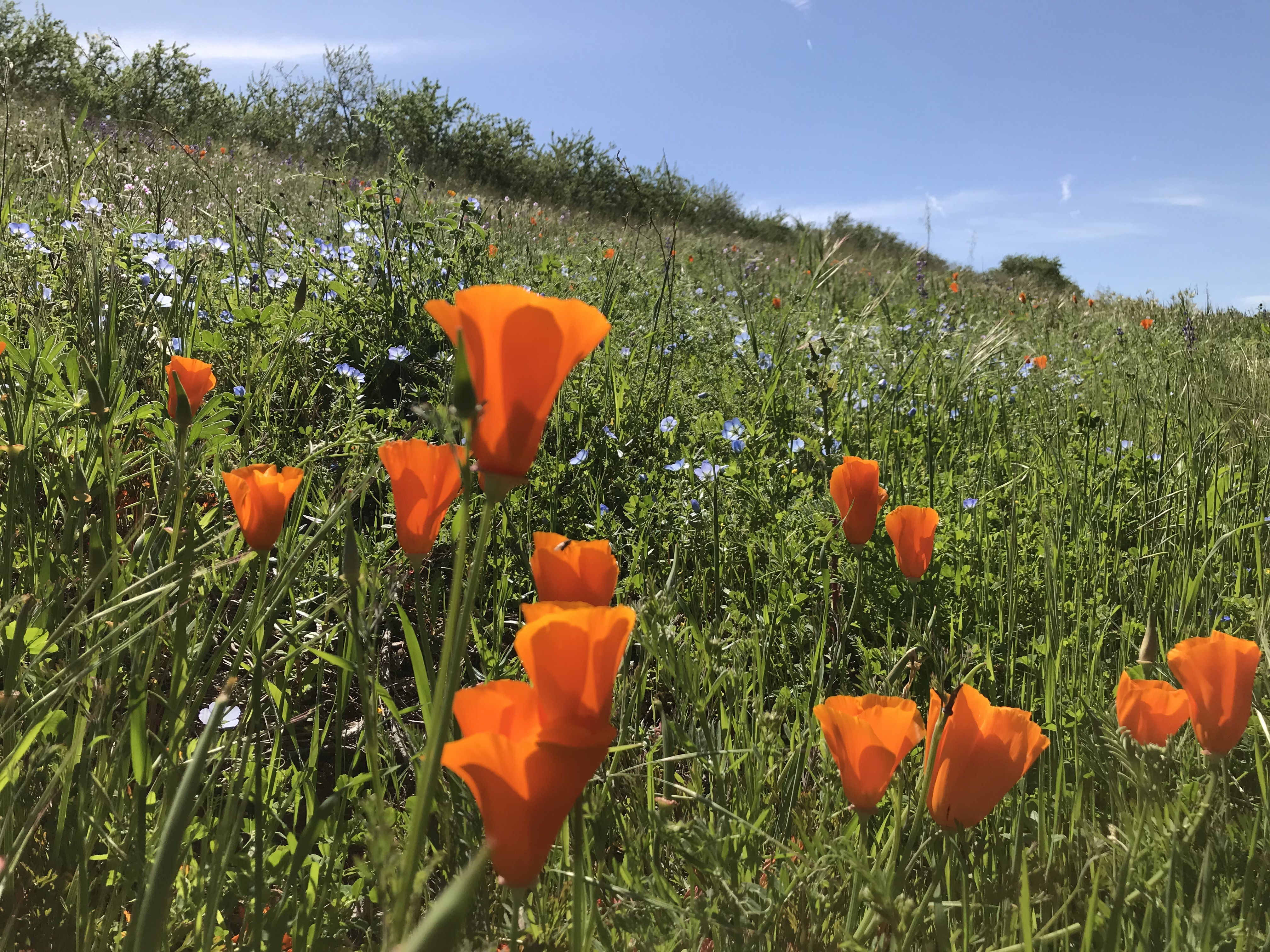 A field of vivid red-orange California poppies and small daisy-like purple flowers..