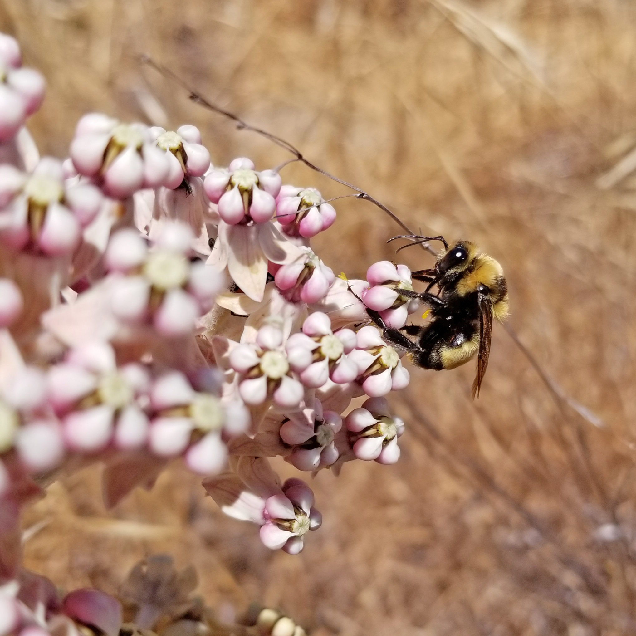 A bumble bee sits on a pale pink flower against a background of dry brush.