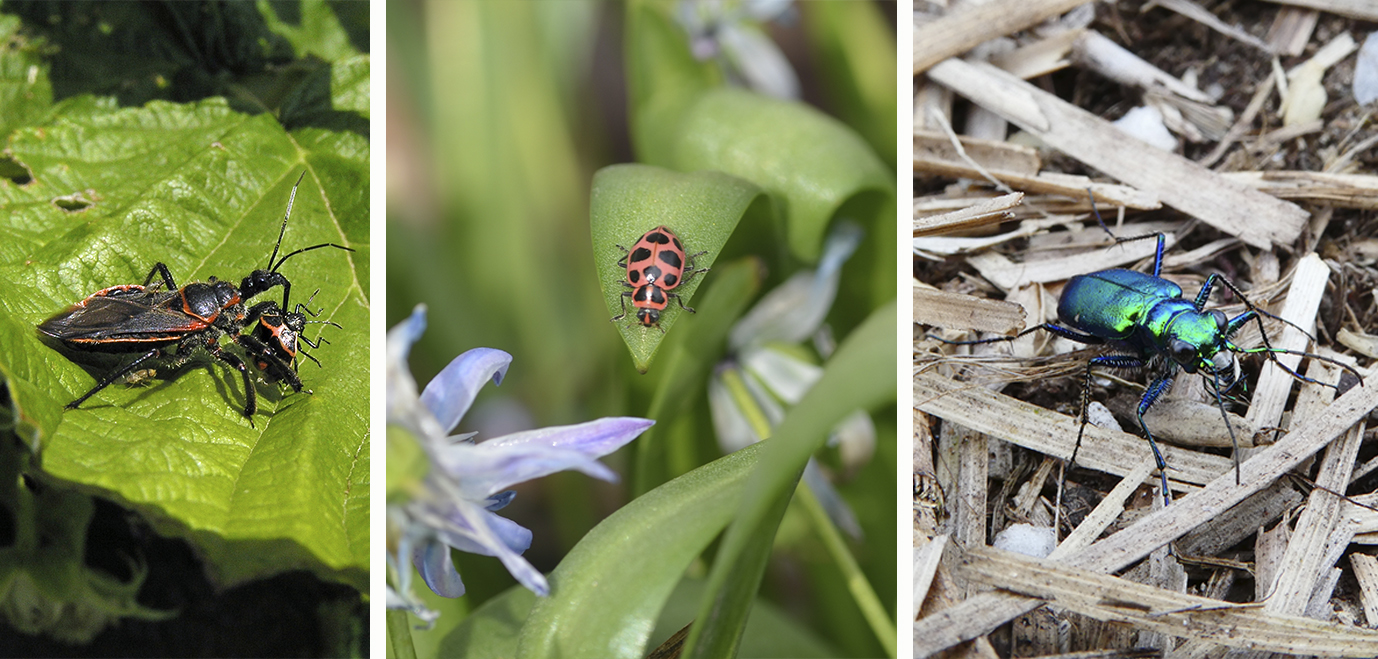 An assassin bug with its stink bug prey; a pink spotted lady beetle; and a six-spotted tiger beetle.