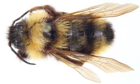 A close-up photo shows a Suckley cuckoo bumble bee against a white background.