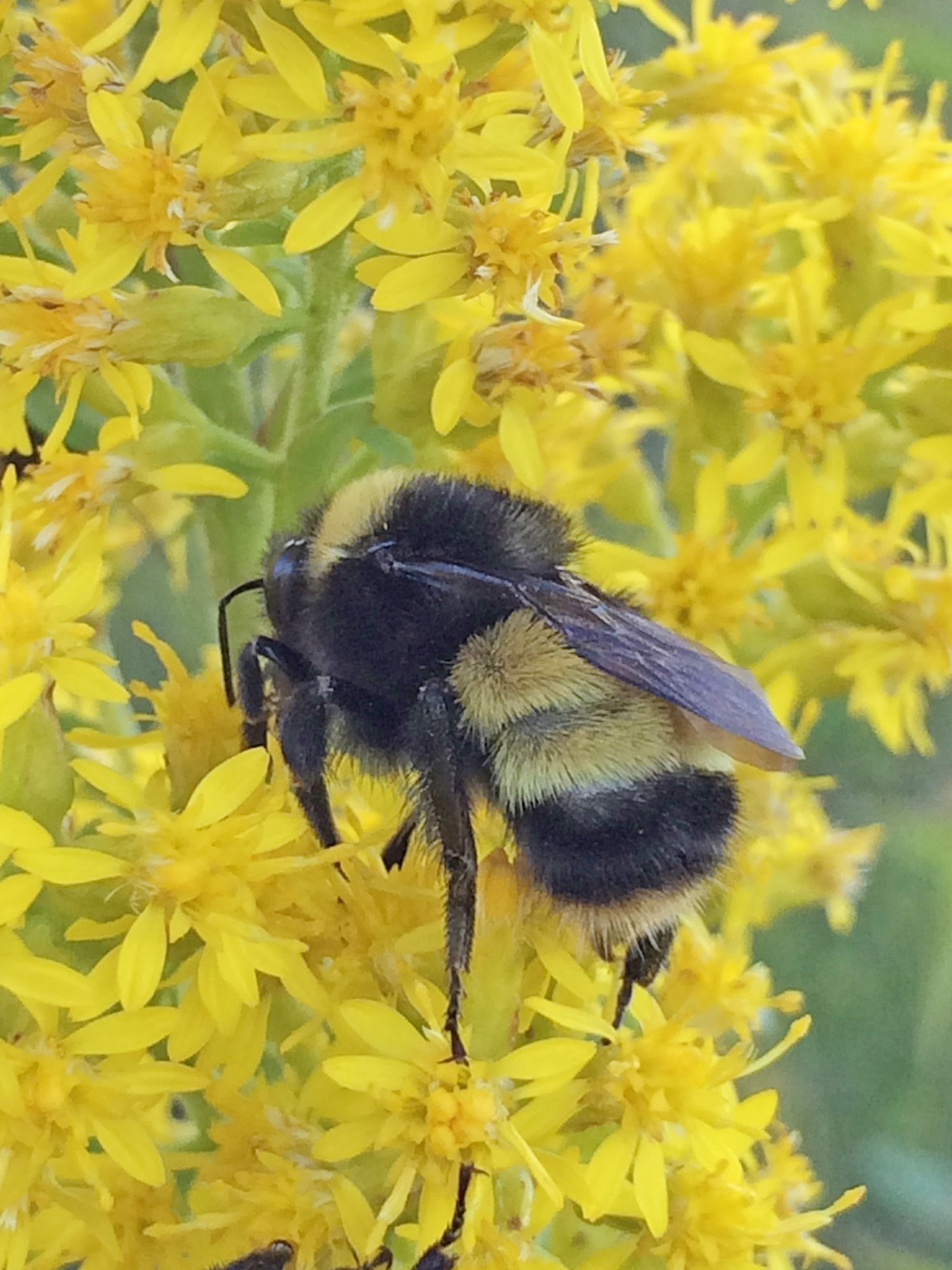 A bumble bee with two yellow bands in the center of its body pollinates a cluster of yellow flowers.