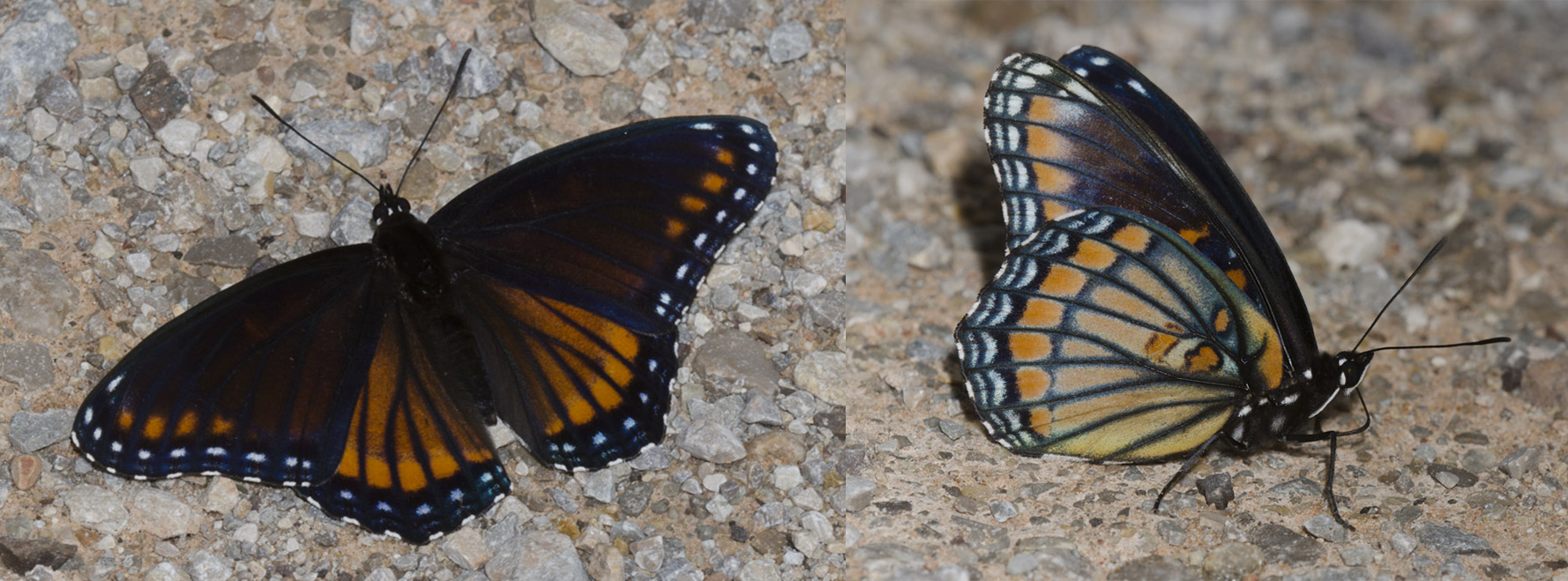 The hybrid butterfly, which embodies features of both the viceroy and the red-spotted purple, is shown in both a dorsal and ventral view.