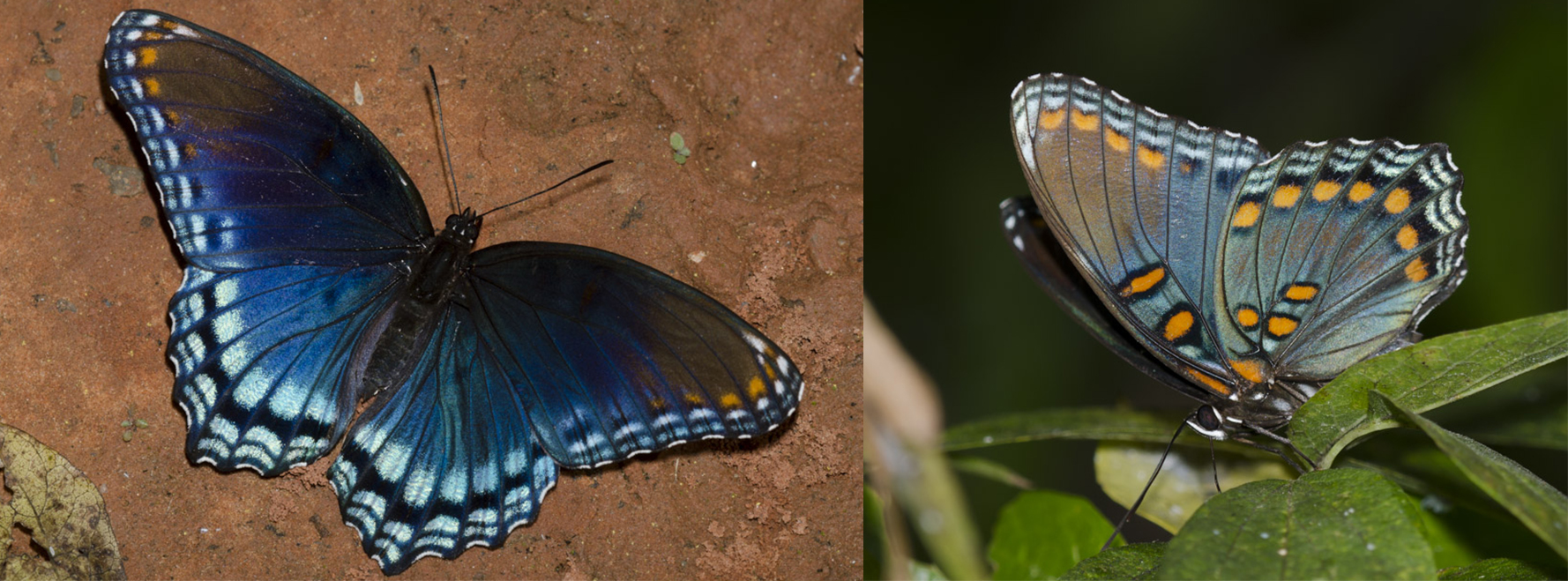 Dorsal and ventral views of the red-spotted purple butterfly are shown. The butterfly is a vivid blue, with some purple and orange patterning.