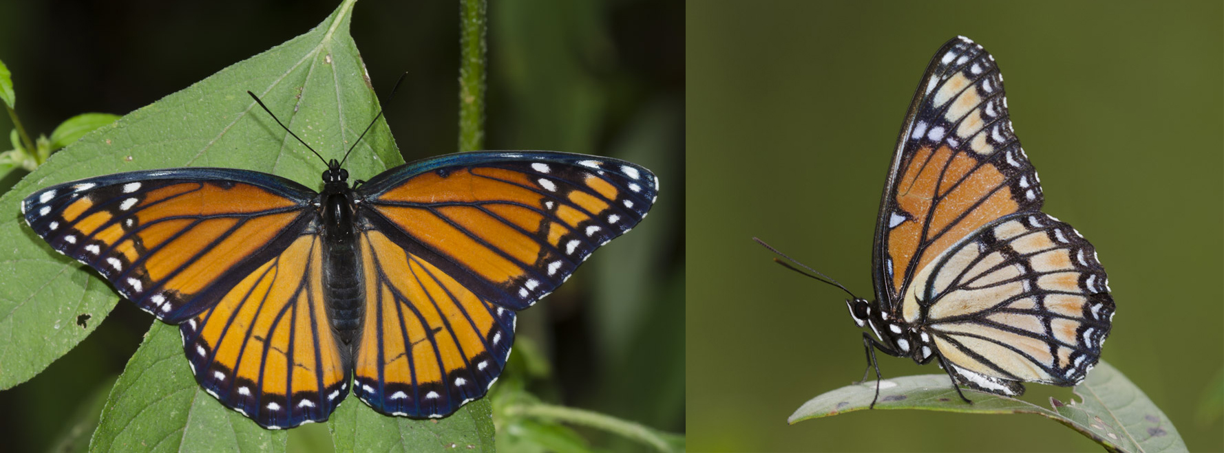 Both the dorsal and ventral view of a viceroy butterfly are shown. They closely resemble the orange and black monarch, but have one stripe across the bottom of their wings that monarchs do not.