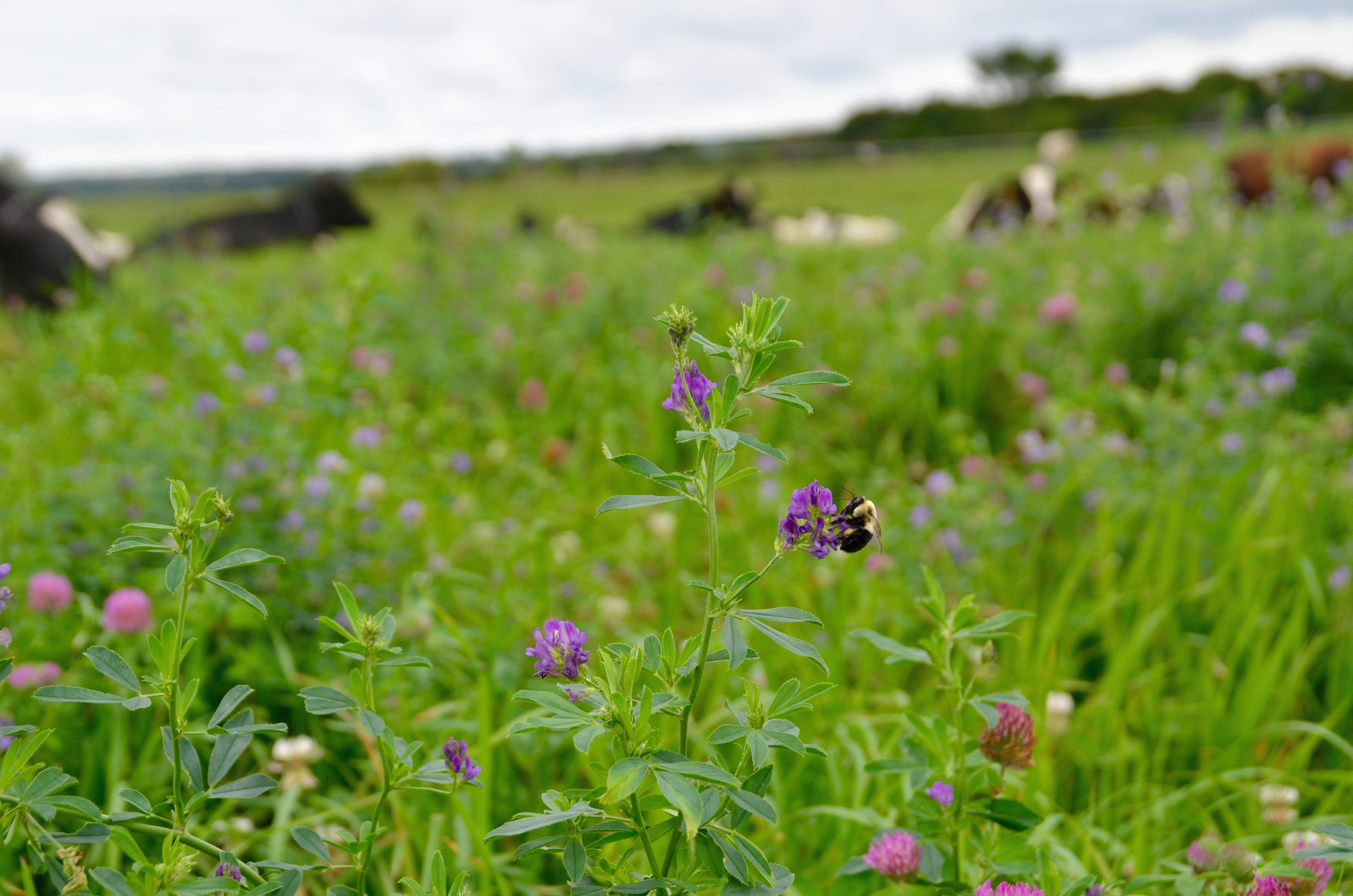 A dark-colored bumble bee holds tightly to a purple flower in a field. There are blurred-out cows in the background of this image, which has a shallow depth-of-field.
