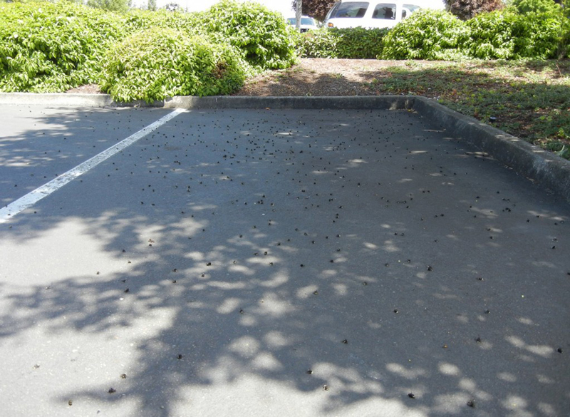 The bodies of thousands of dead bees litter a single parking spot in the Wilsonville bee kill.