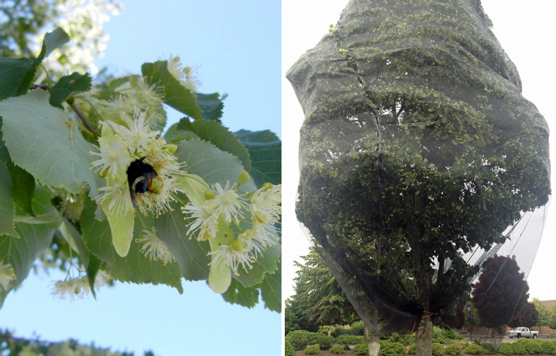 This two-part graphic shows a fuzzy bumble bee nectaring on a flower on the left, and a tree covered in netting on the right.
