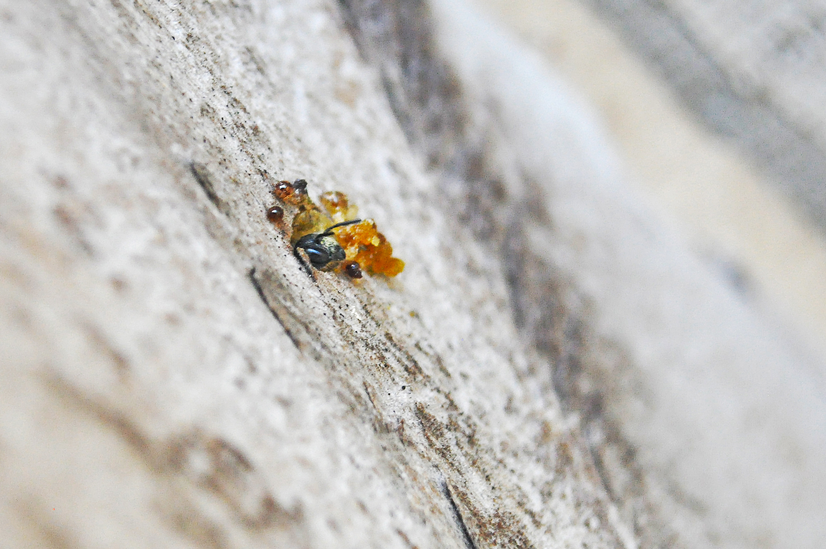 In a pale, slightly textured wall is a hole surrounded by amber-like resin. A small bee is poking its head out of the hole.