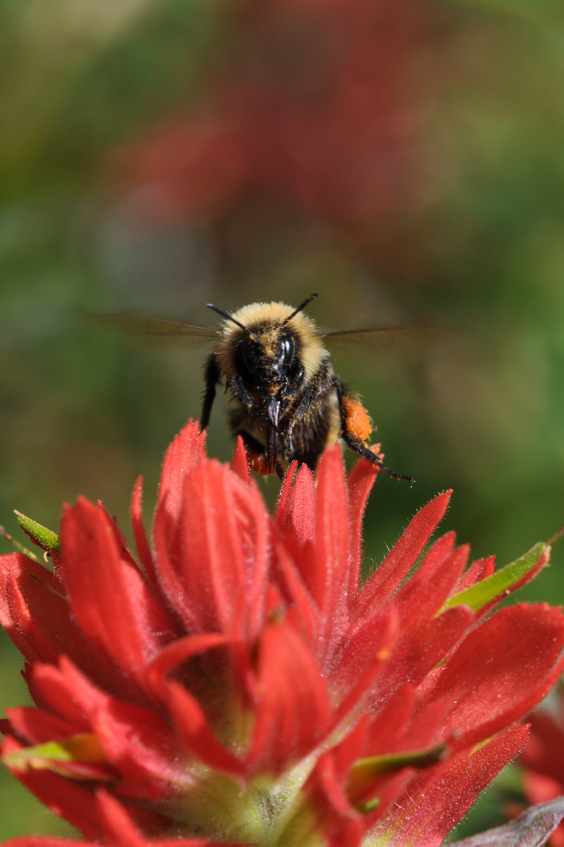 The high country bumble bee (Bombus kirbiellus) stares directly at the camera, with its wings blurred, and perched atop a red paintbrush blossom.