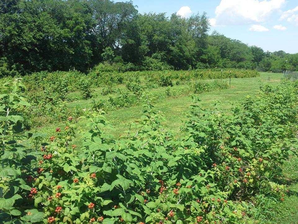 A verdant landscape filled with leafy raspberry bushes, dense cover crops, and distant trees unfurls in this photo.