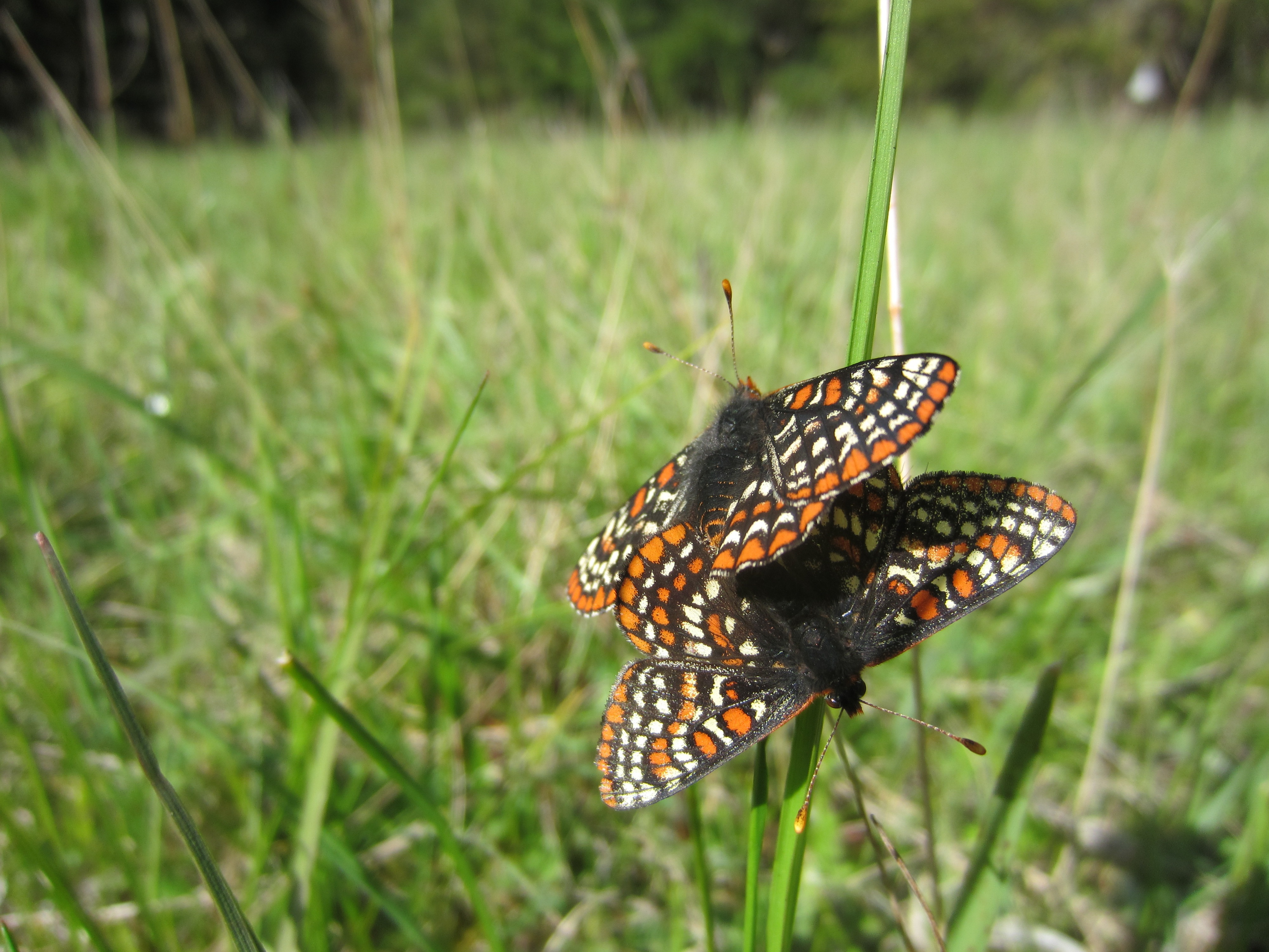 Two black-white-and-orange butterflies have landed on a long blade of grass and are shown with wings outstretched.