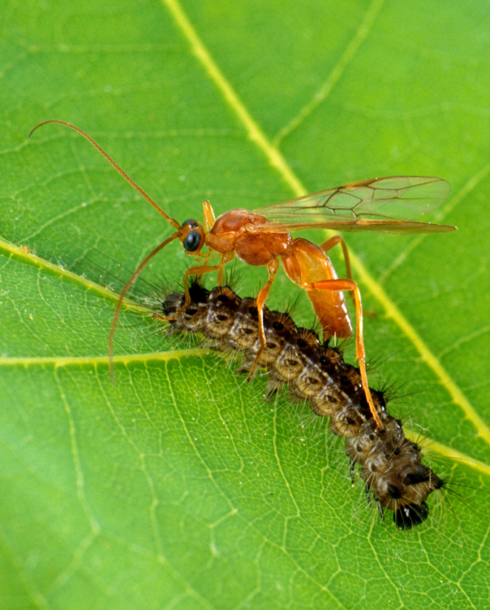 A bright orange wasp perches atop a brownish caterpillar with some bristly, dark hairs, on a green leaf.