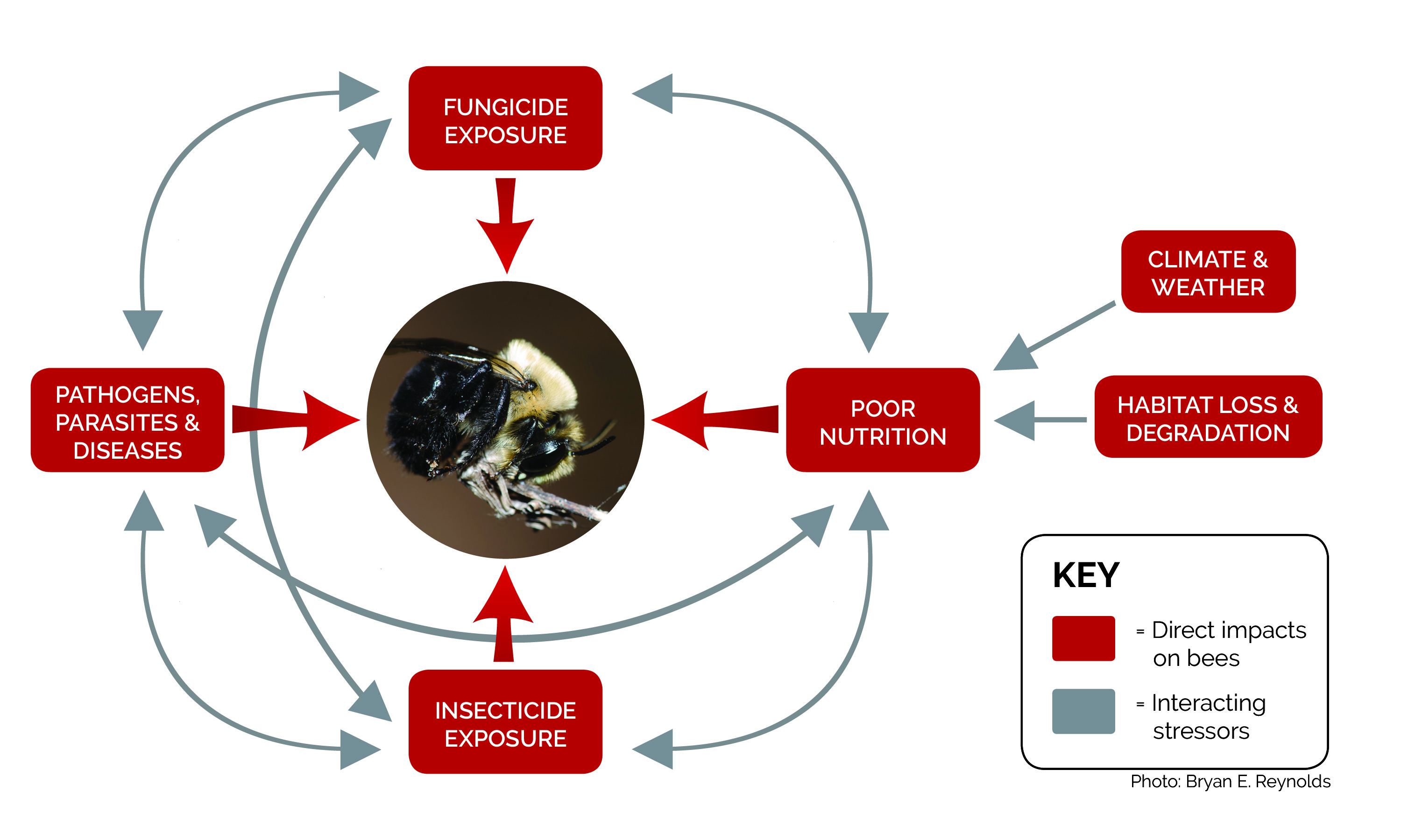 This diagram shows various interacting stressors that can impact bees and other pollinators, including fungicides.