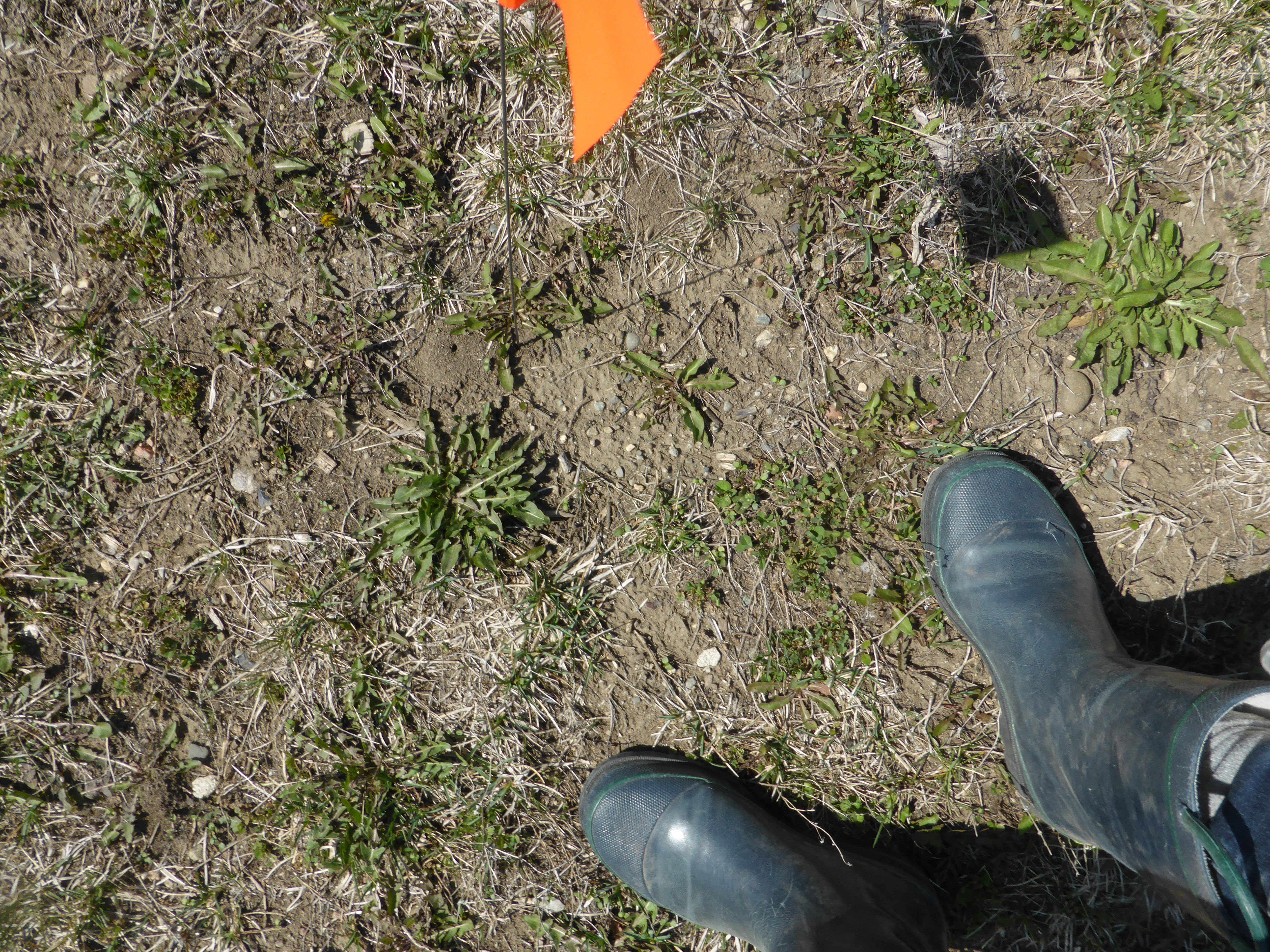 This photo was taken with the camera aiming towards the ground. In the lower right-hand corner of the frame are feet in calf-high rubber boots. In the upper portion of the frame, there are holes in the ground, among the short-cropped grass. Near the holes are small orange flags on small wire posts.