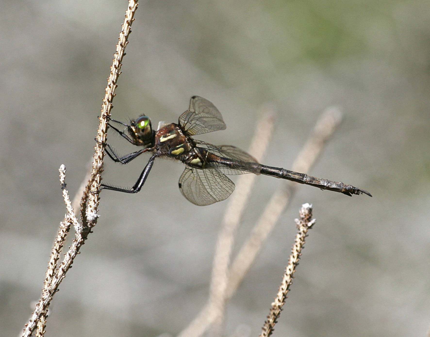 A brownish dragonfly holds on to a bare twig.