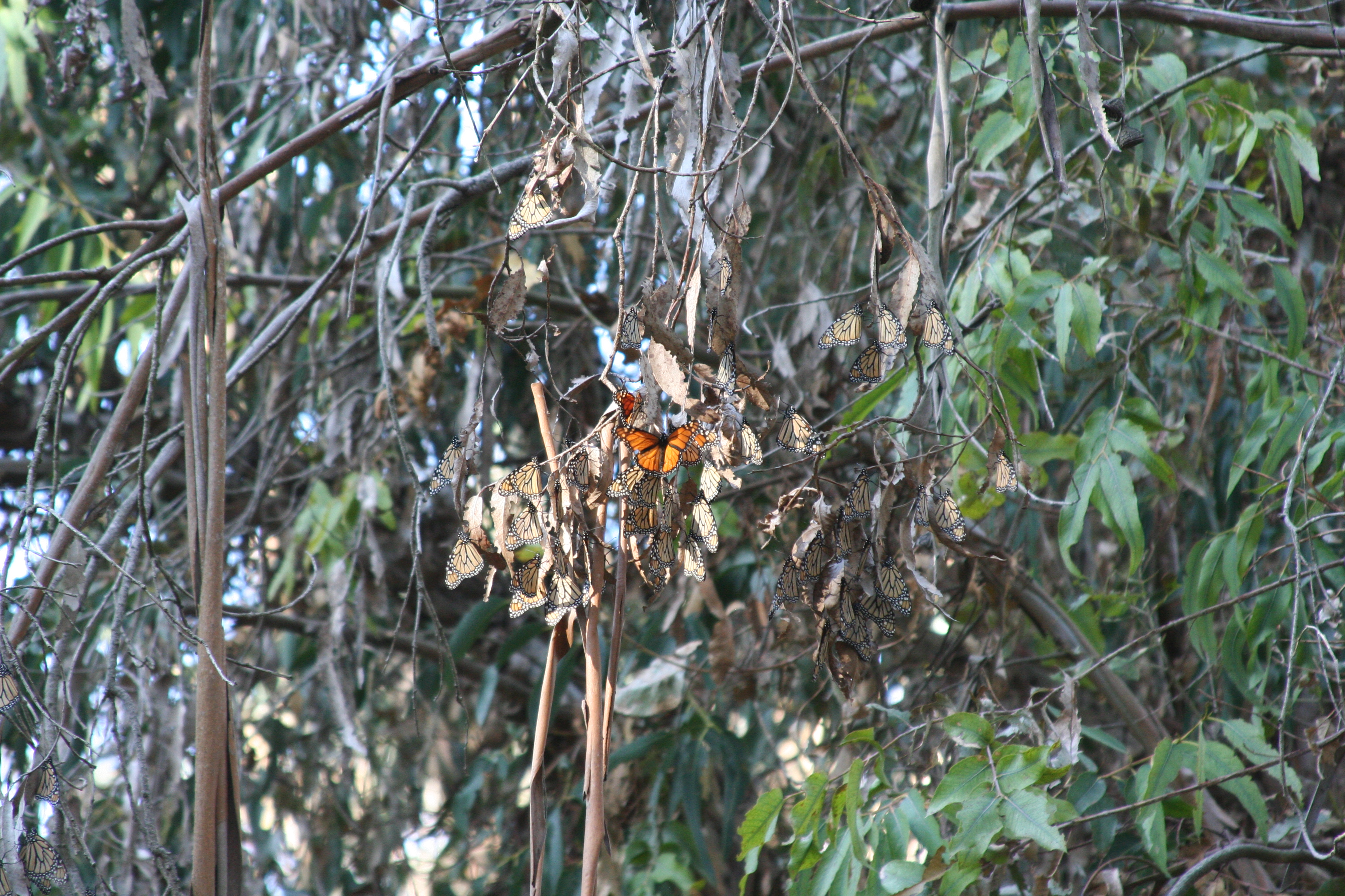 A small group of monarchs--most with their wings closed, making them look duller in color and more like dead leaves--cluster on a branch.