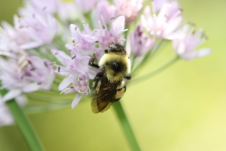 A fuzzy bumble bee clings to a cluster of pale purple flowers.