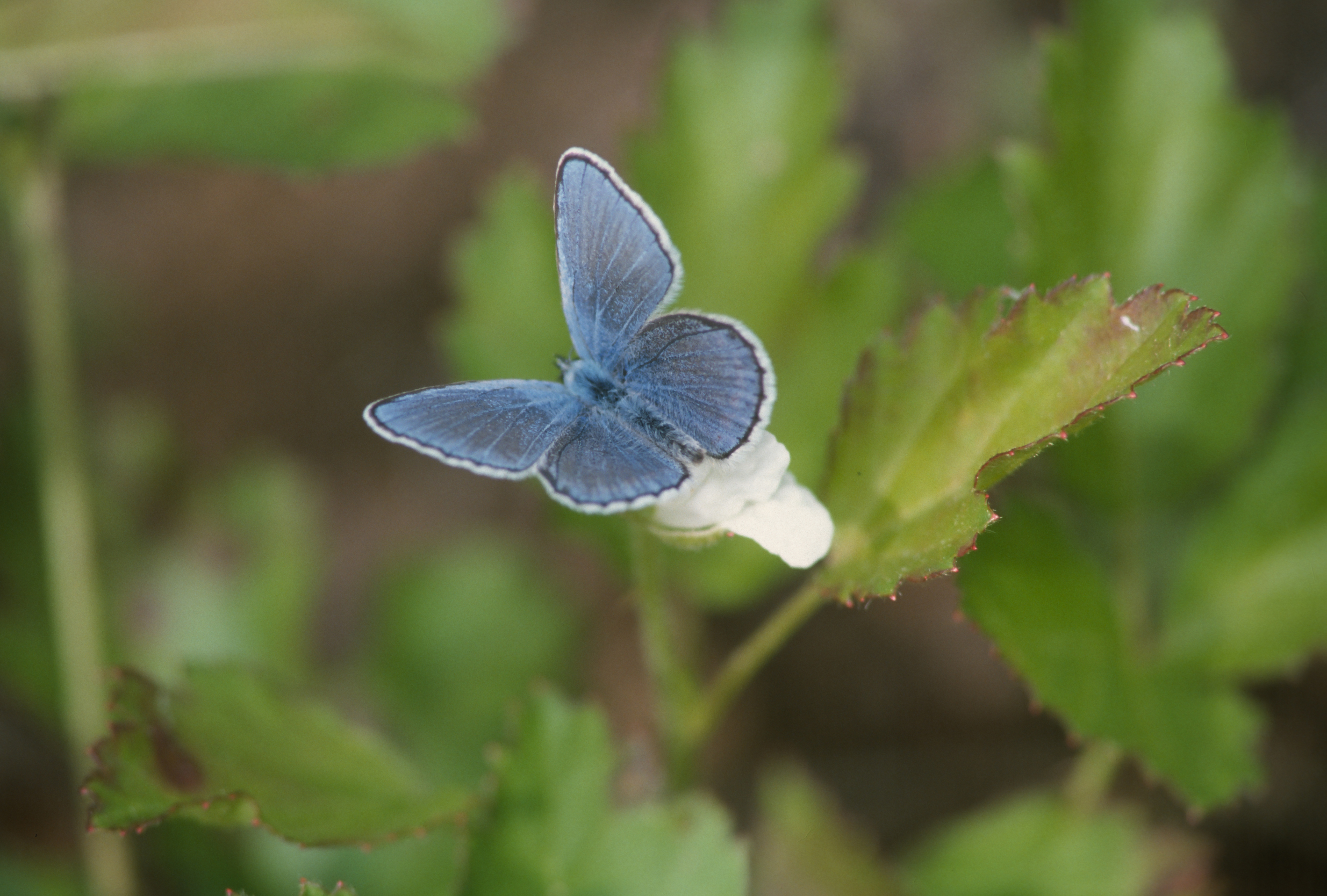A blue butterfly stands out among green vegetation.