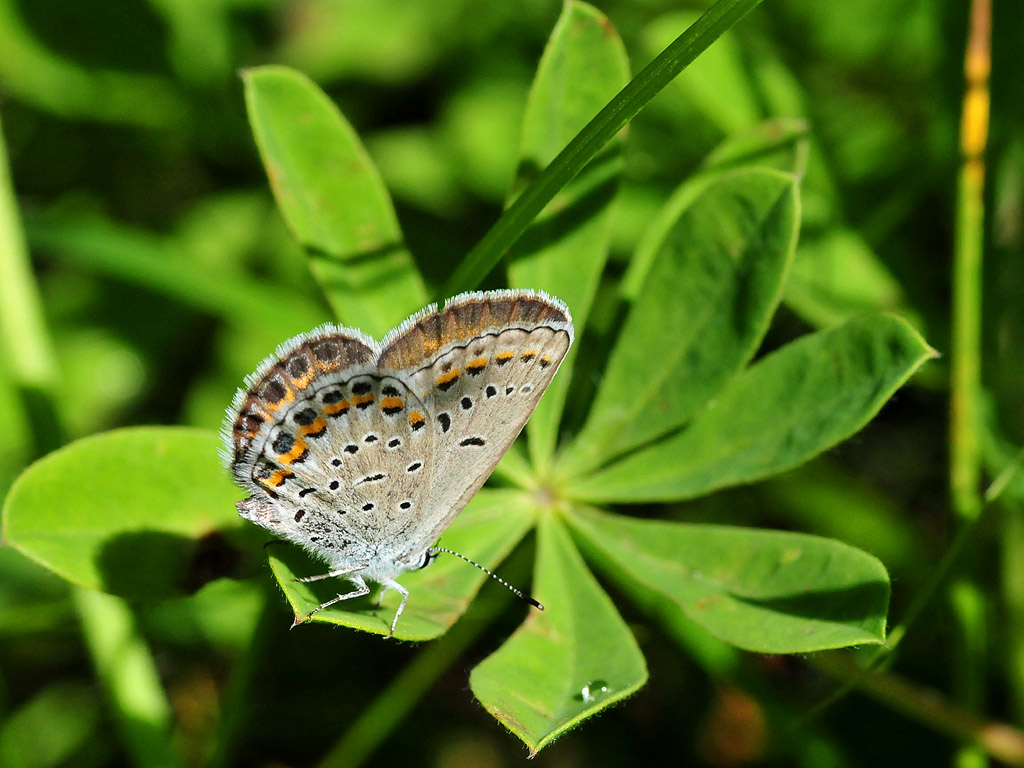 A pale butterfly rests on the tip of a green leaf with its wings closed.