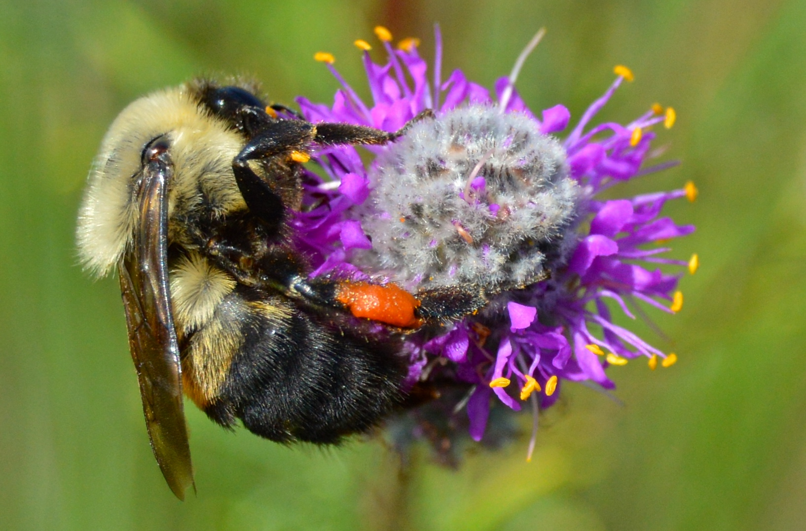 A fuzzy, yellow and black striped bumble bee clings to a spherical flower.
