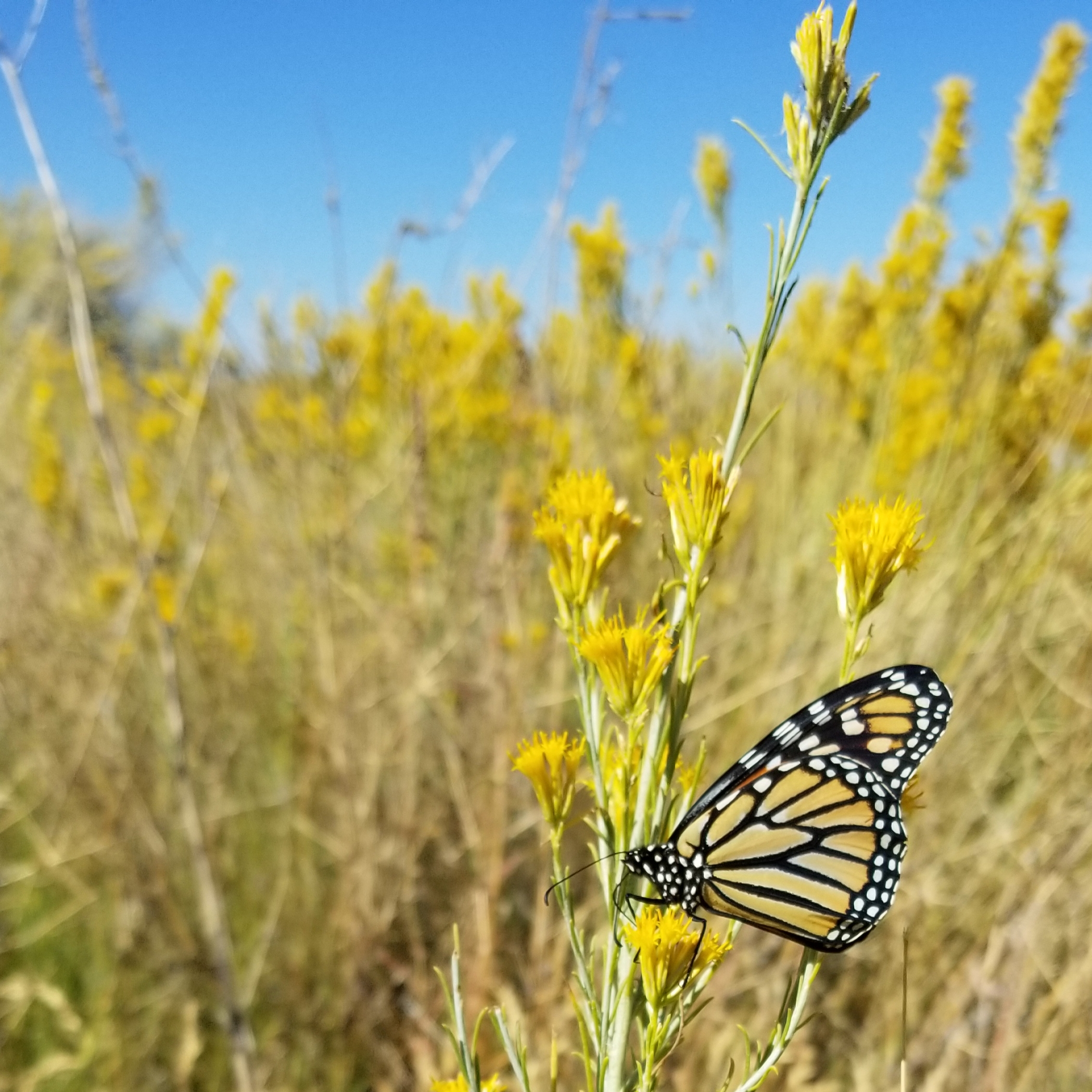 A monarch clings to a stalk bursting with yellow flowers, in an arid landscape.