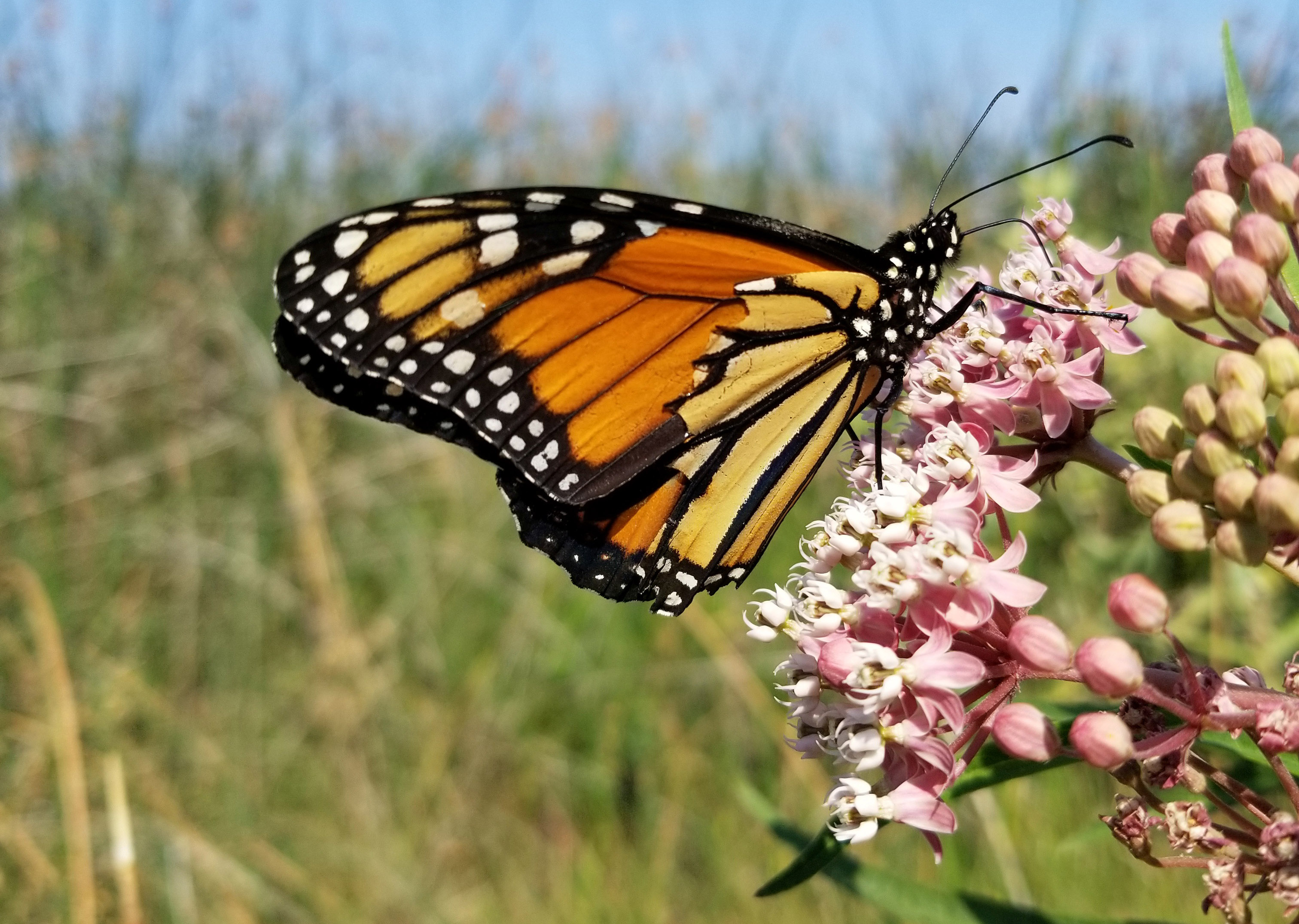 A monarch butterfly pauses to sip nectar from the pink flowers of swamp milkweed.
