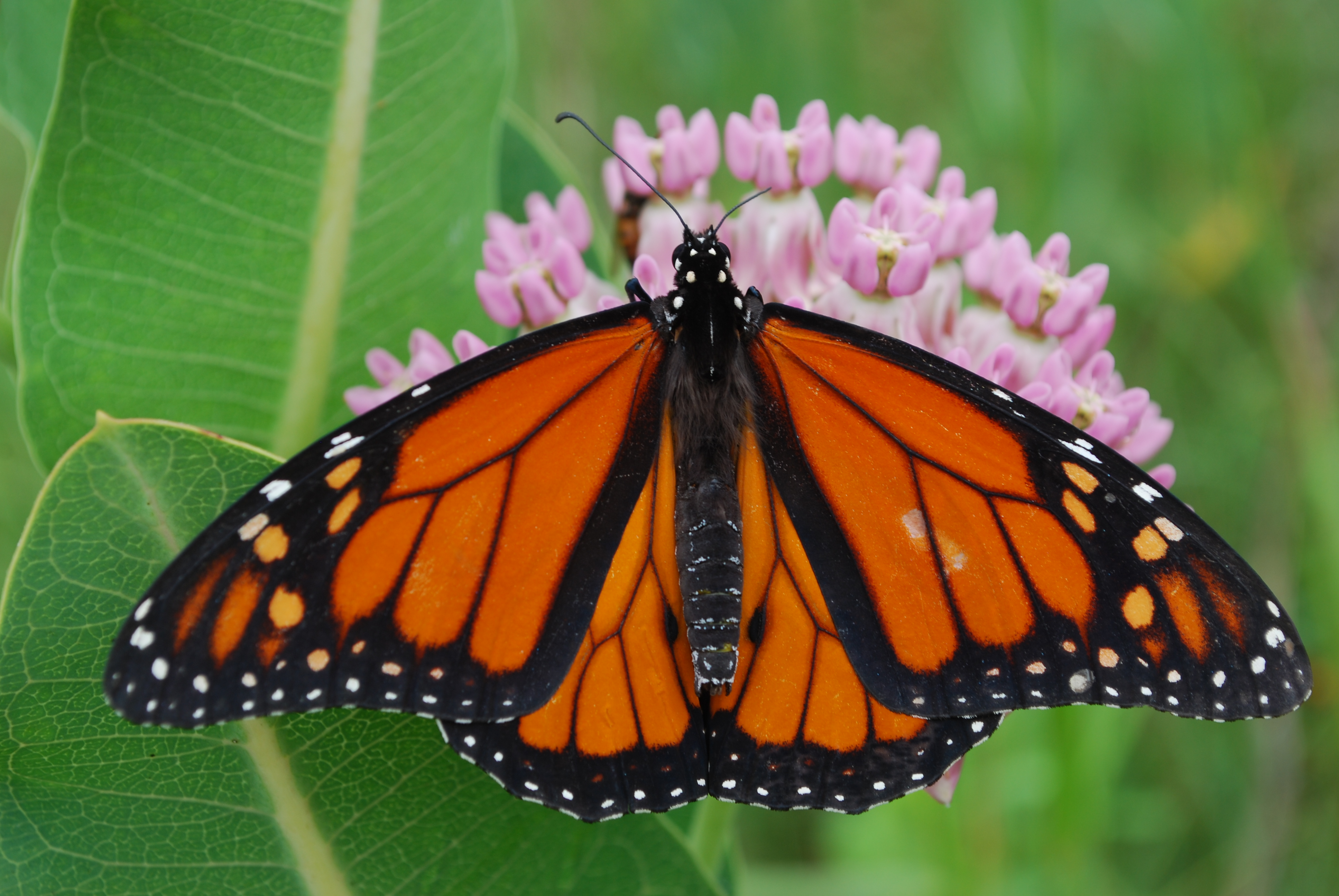 A bright orange and black monarch perches atop bright pink milkweed blossoms.