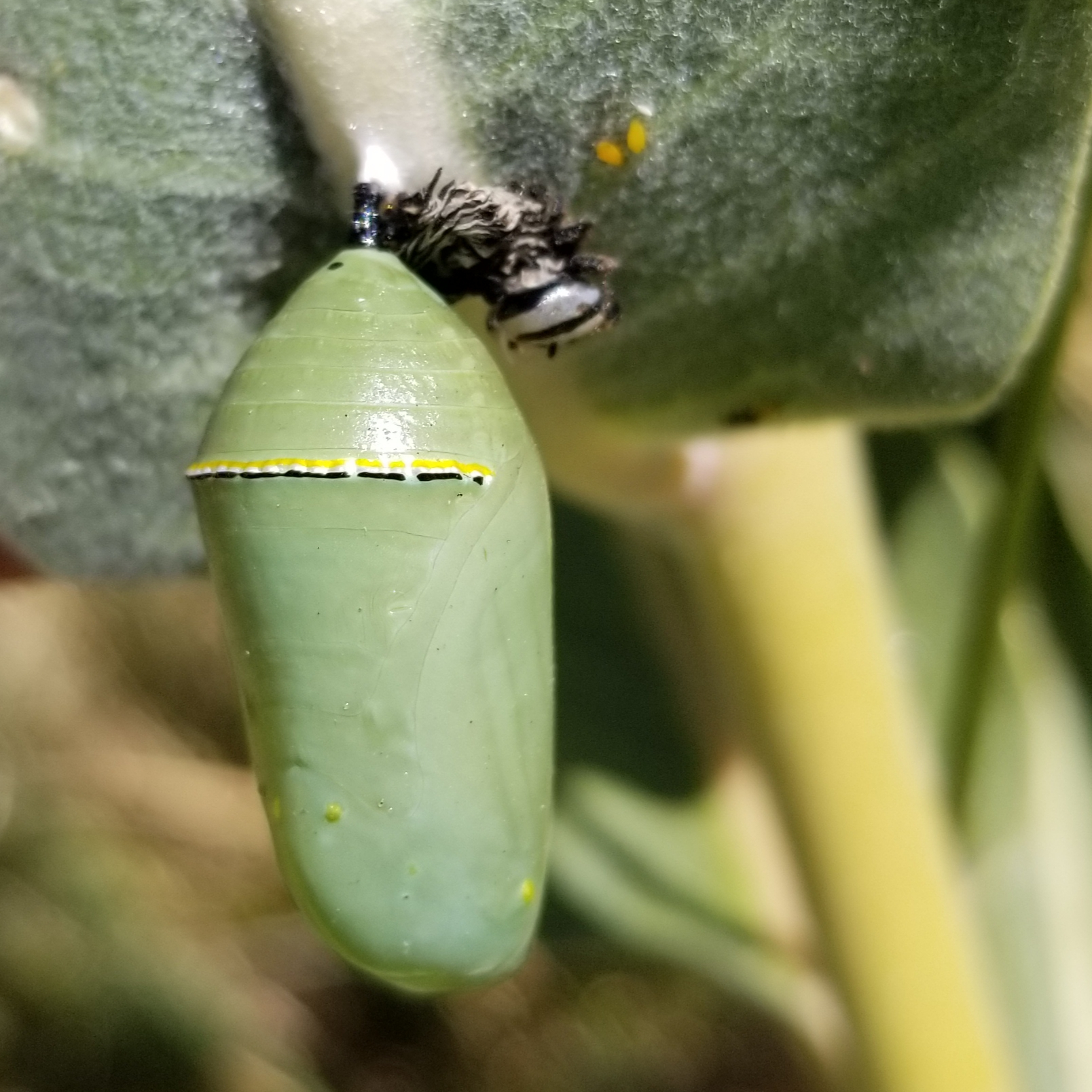 A pale green monarch pupa hangs from the underside of a milkweed leaf.